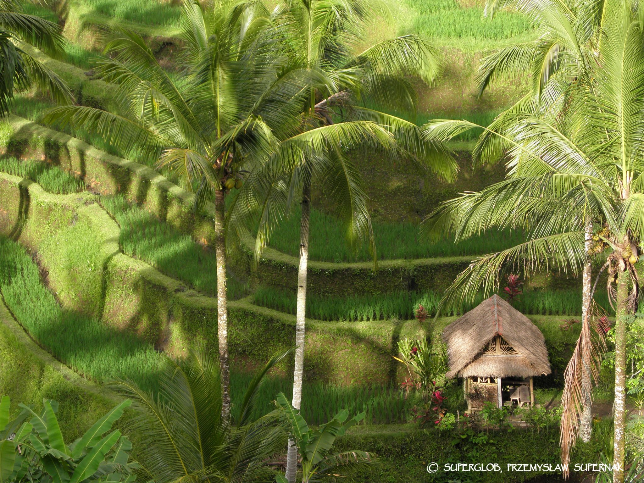 Rice terraces on Bali - 1 by SuperGlob
