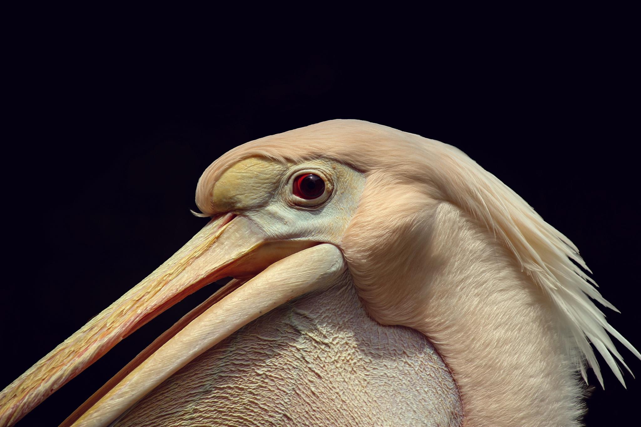 Pelican by omerfaruk4662
