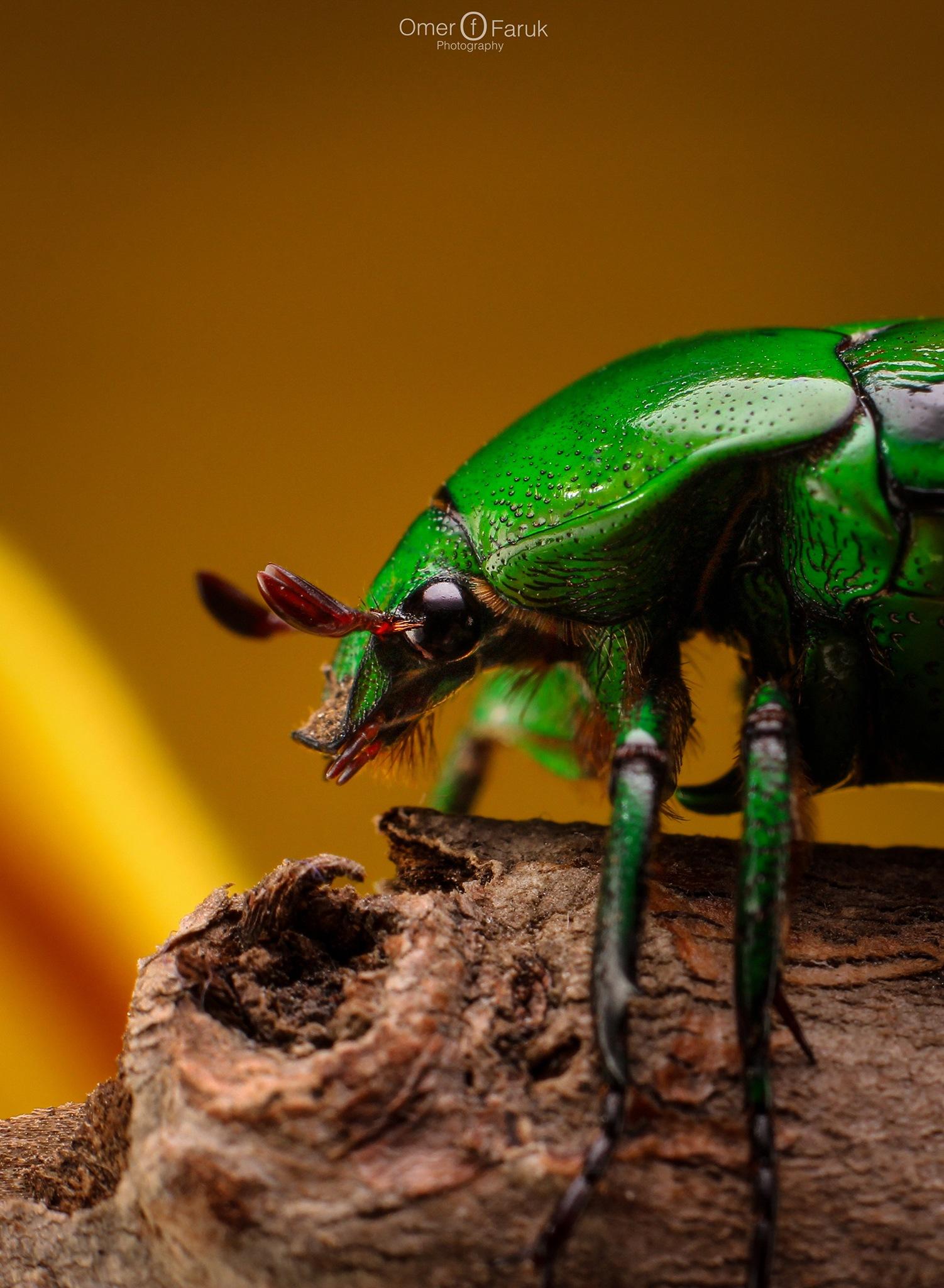 Beetle by omerfaruk4662