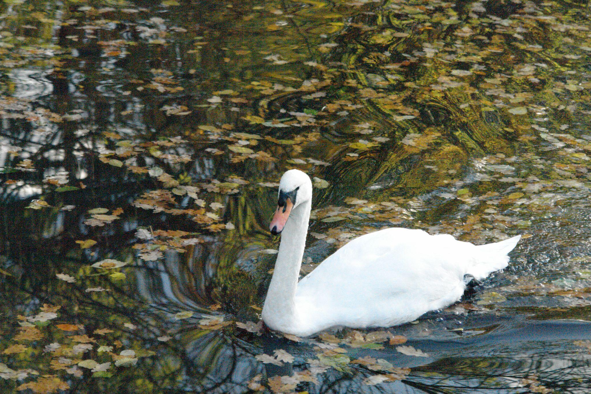 Swan by TimeaH