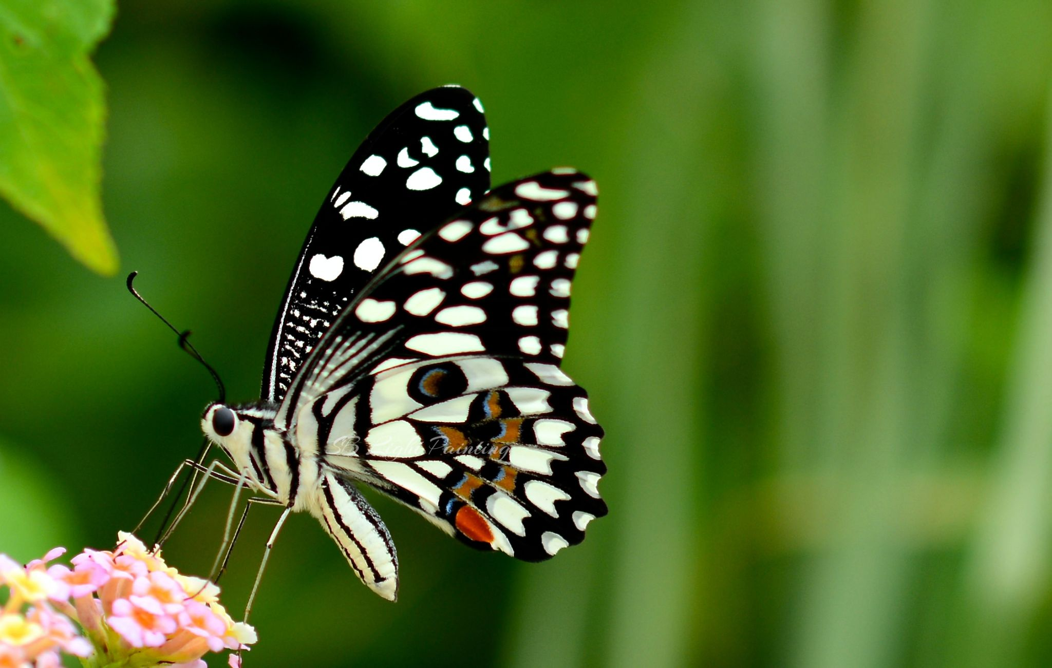 Butterfly by shyamal.biswas.129