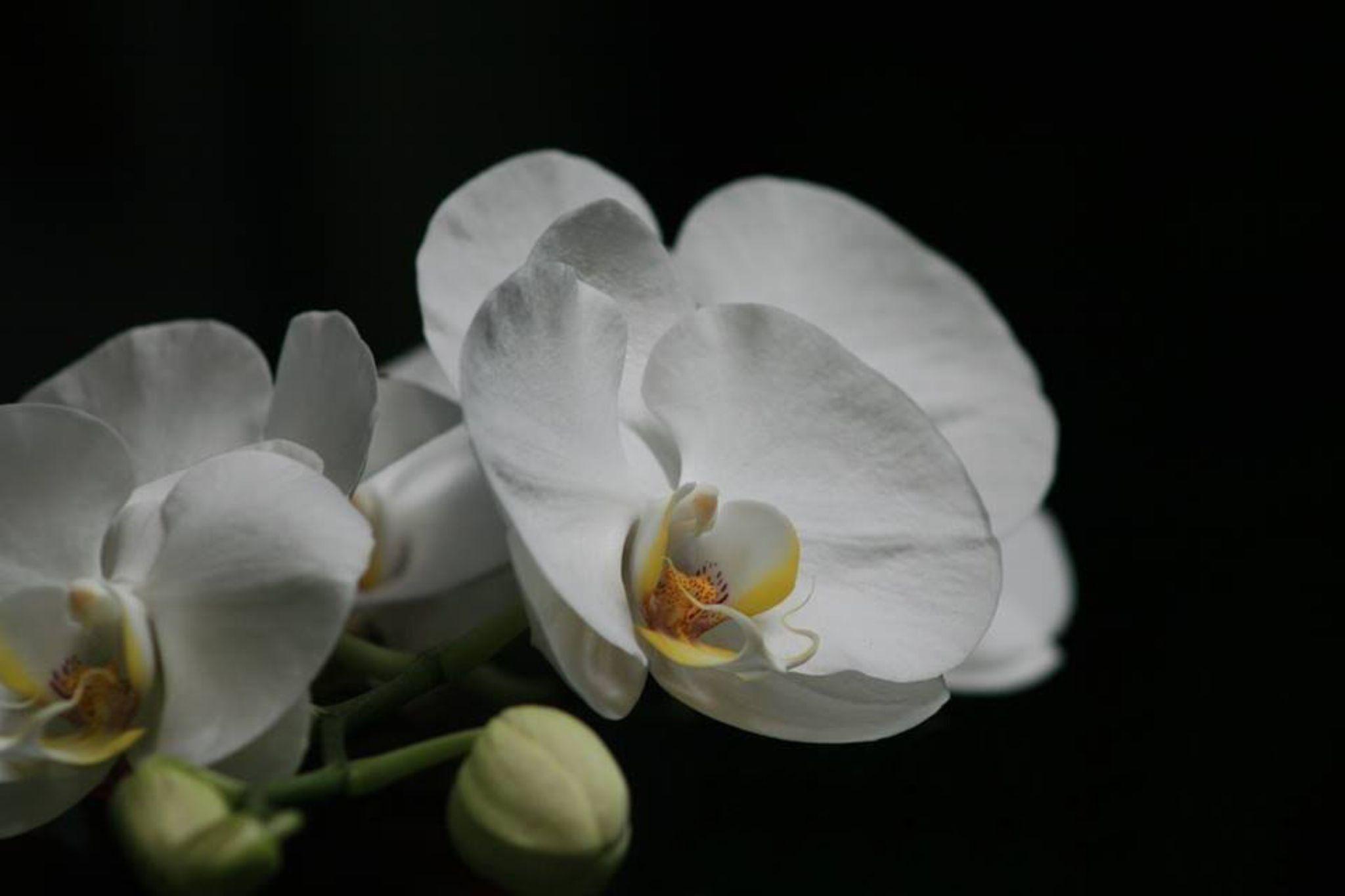 White Orchid by joshua mellen