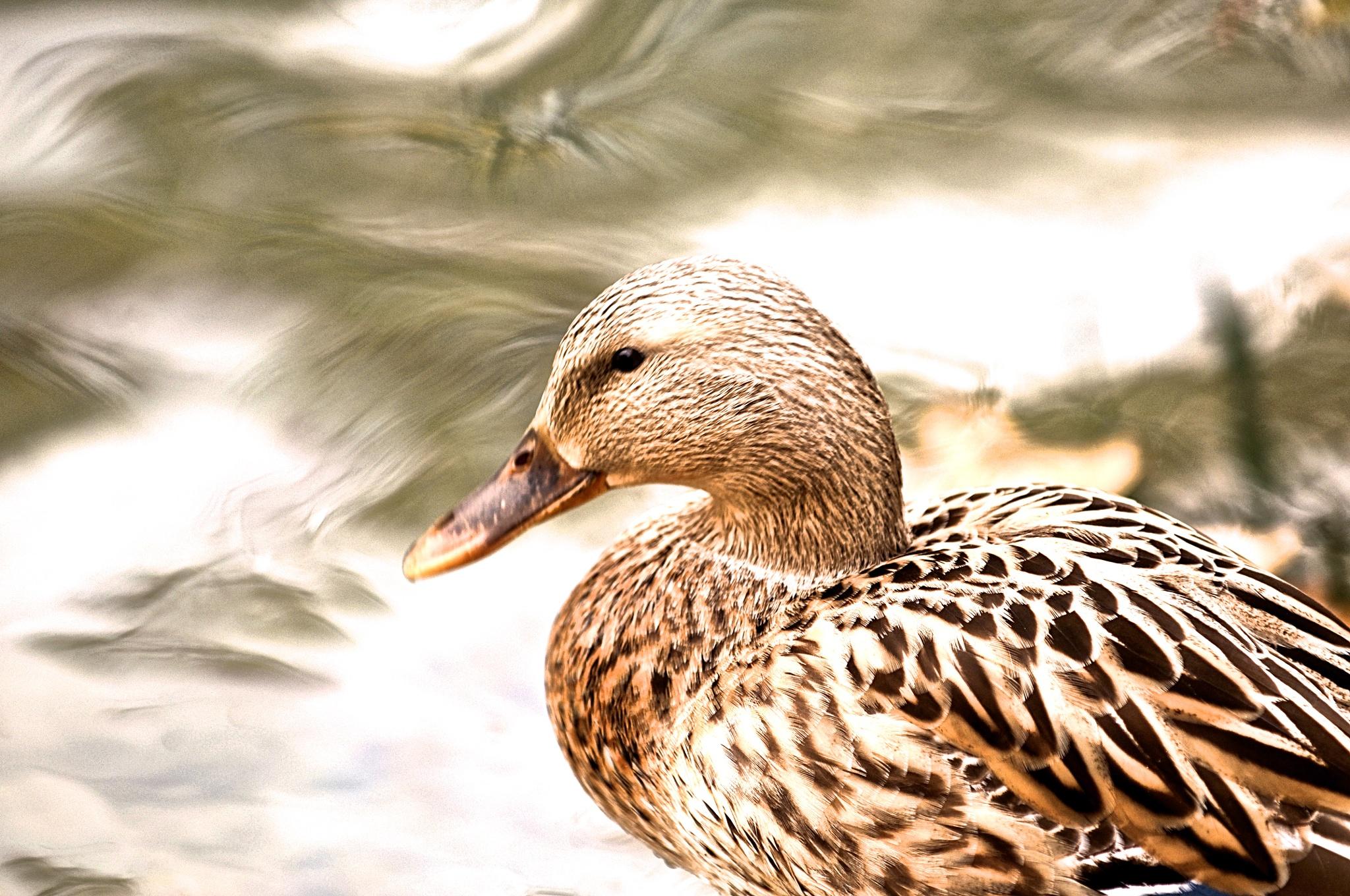Duck by Chiranjib Mazumdar