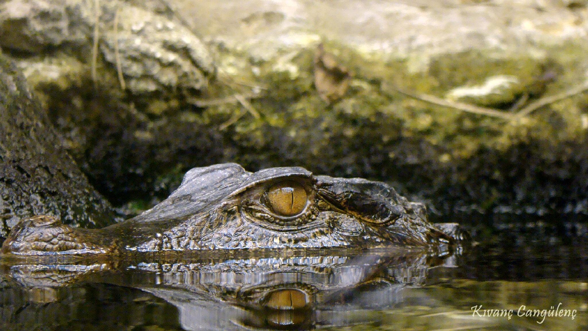 Photo in Animal #crocodille #timsah #animal