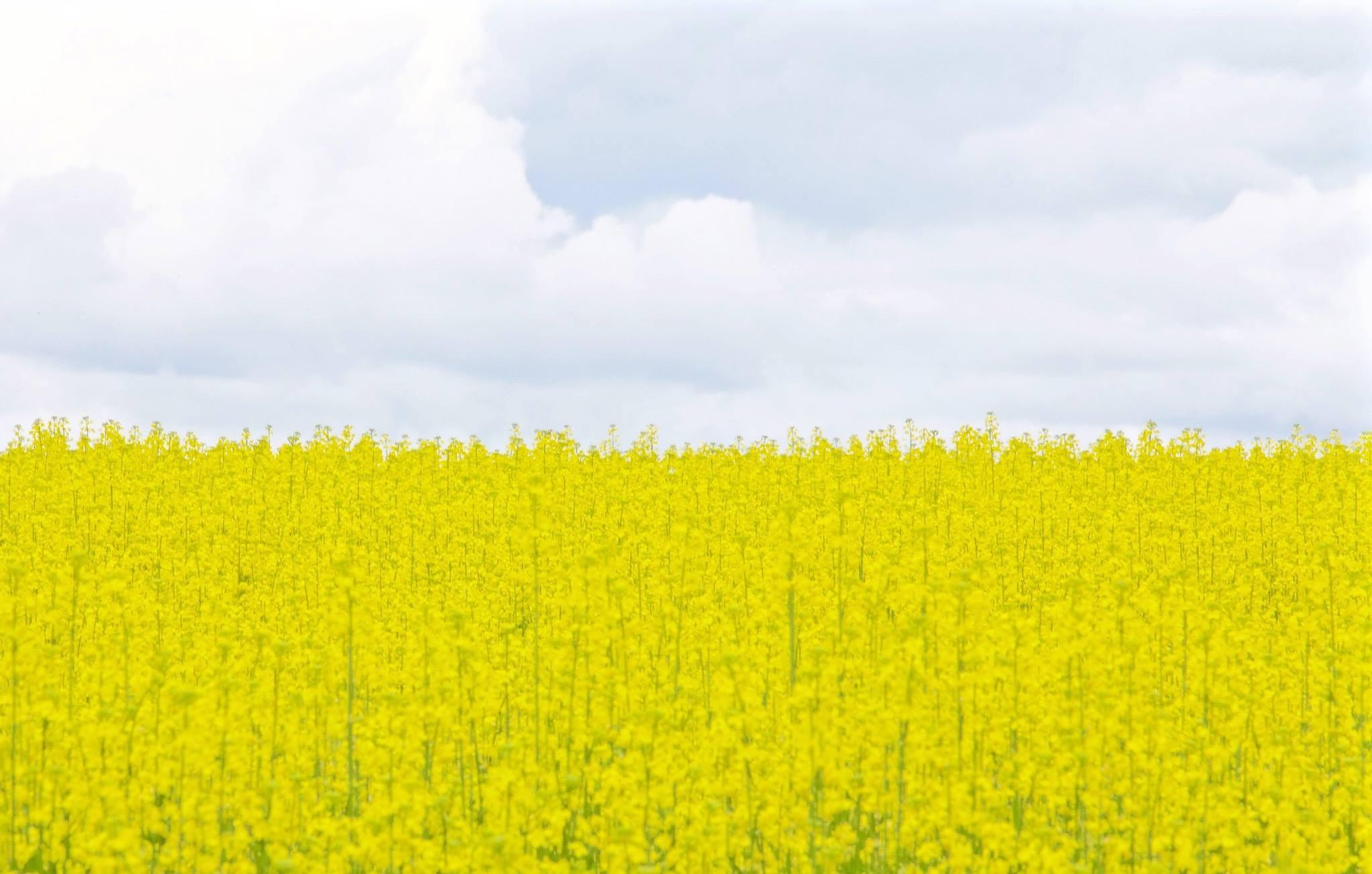 Field of yellow by kim.trevors