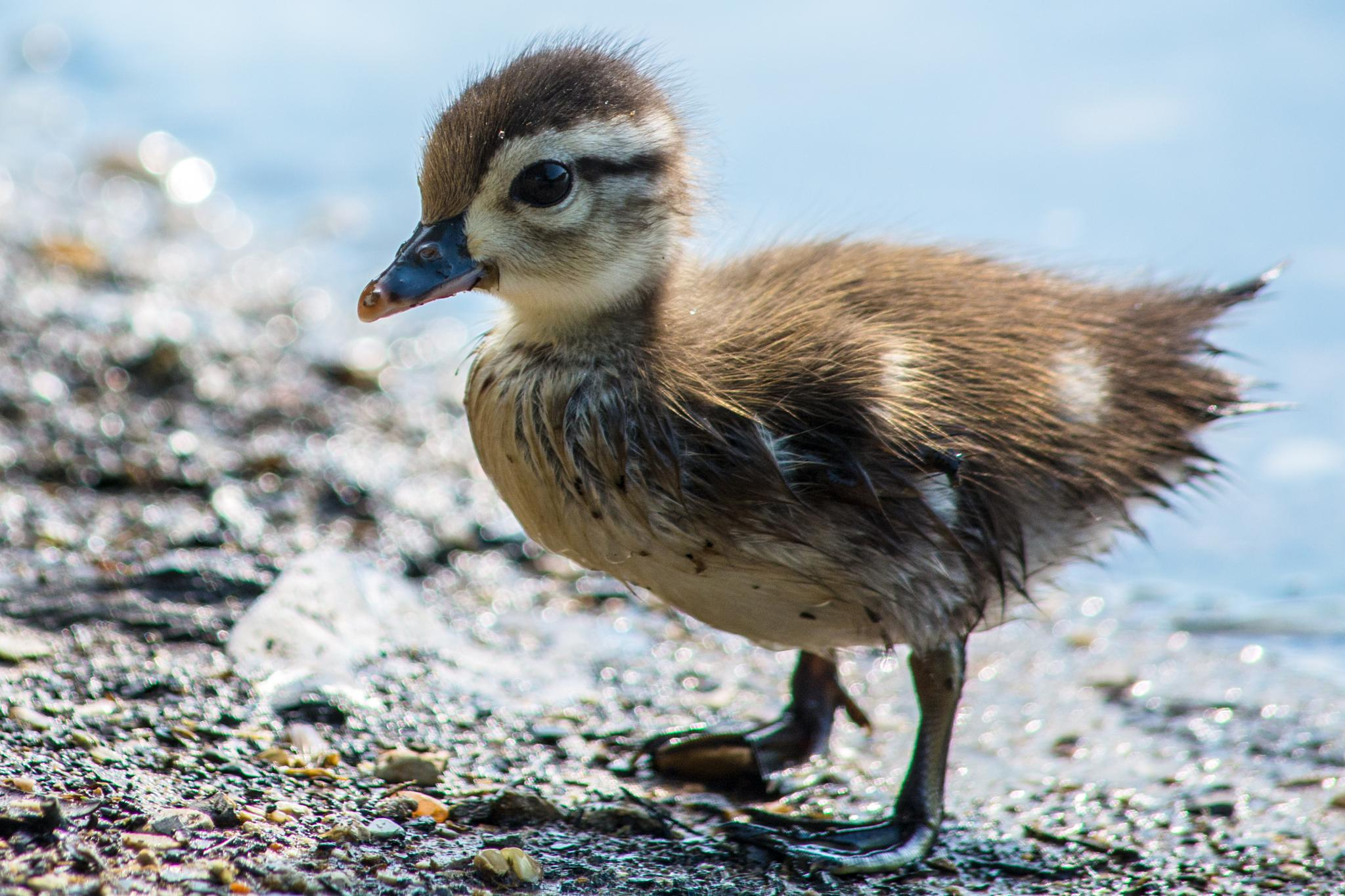 Duckling by serkanzanagar