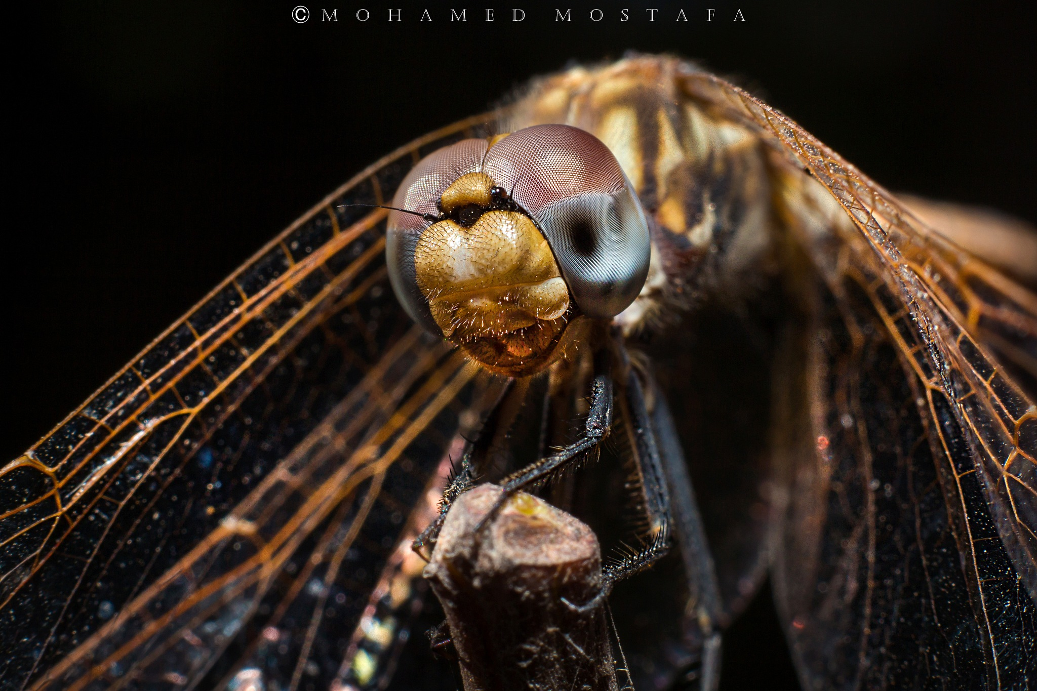 Mr. Dragon Fly ! by Mohamed Mostafa