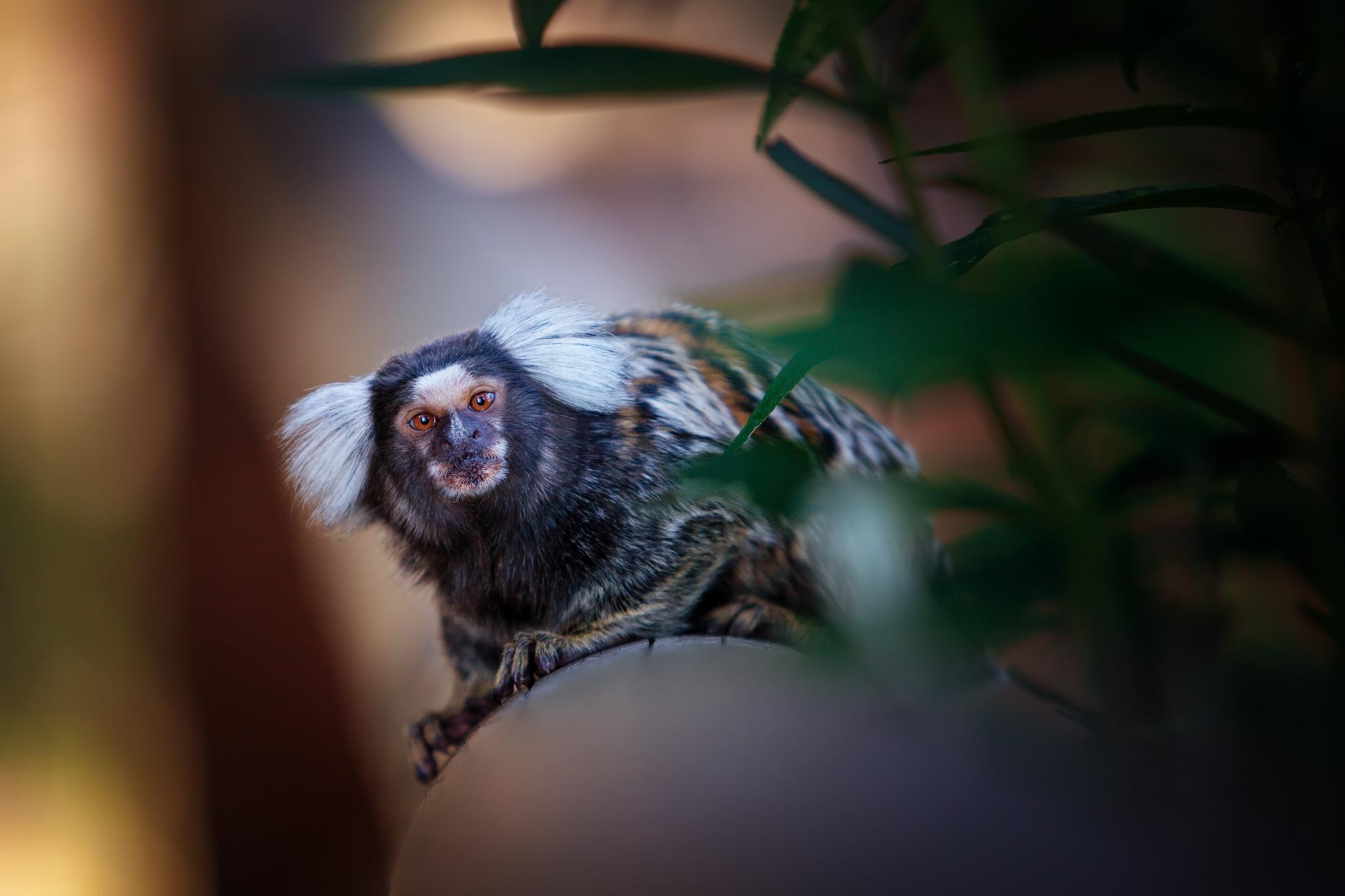 (Callithrix jacchus) by zdenka.photo
