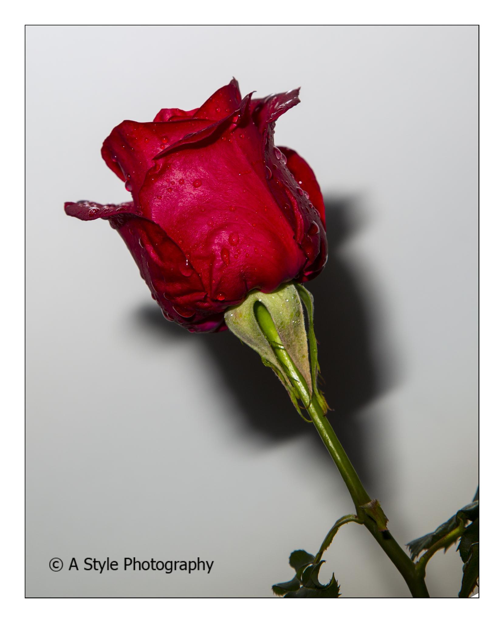 rose  by AkhtarSharifi