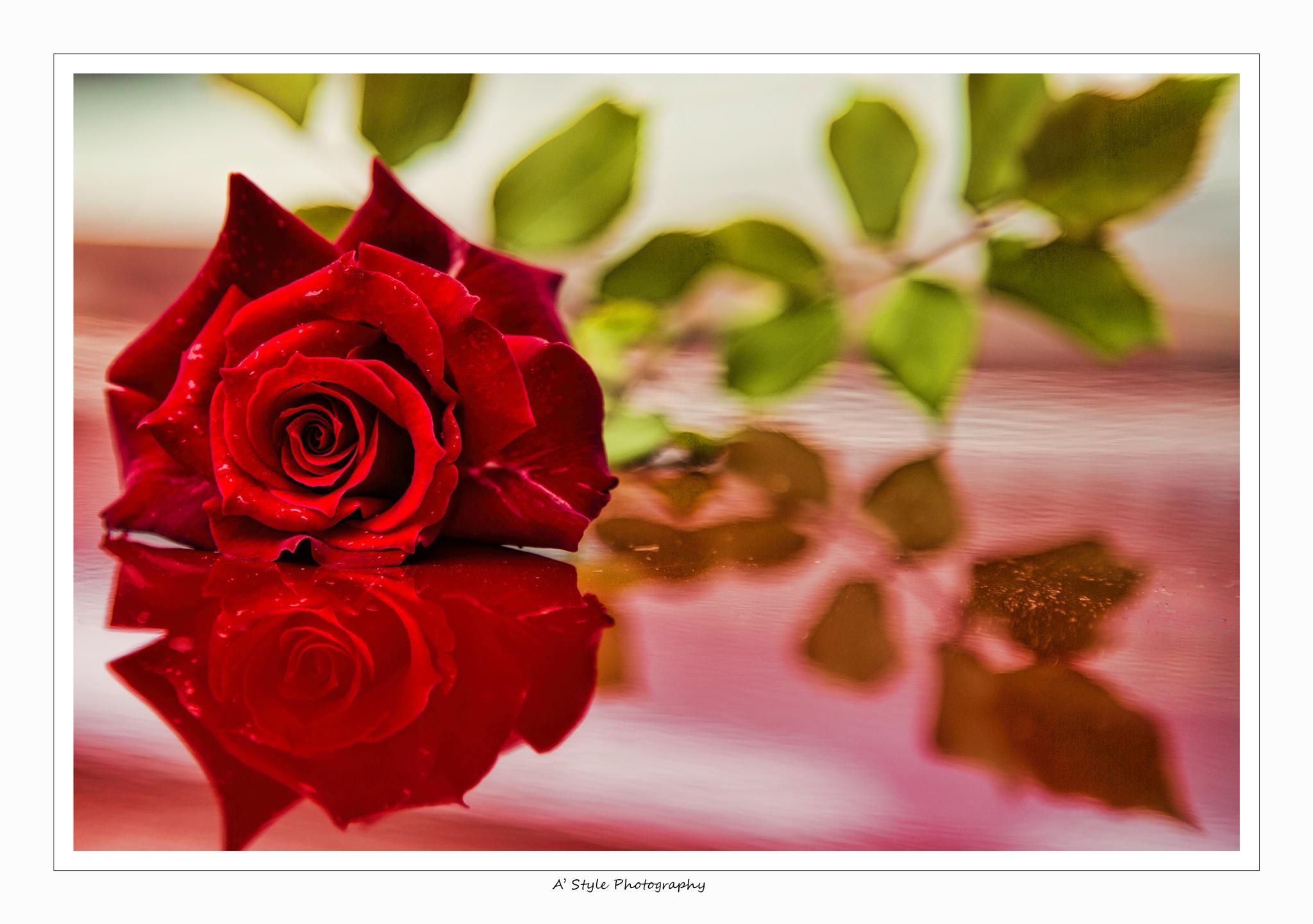 red rose by AkhtarSharifi