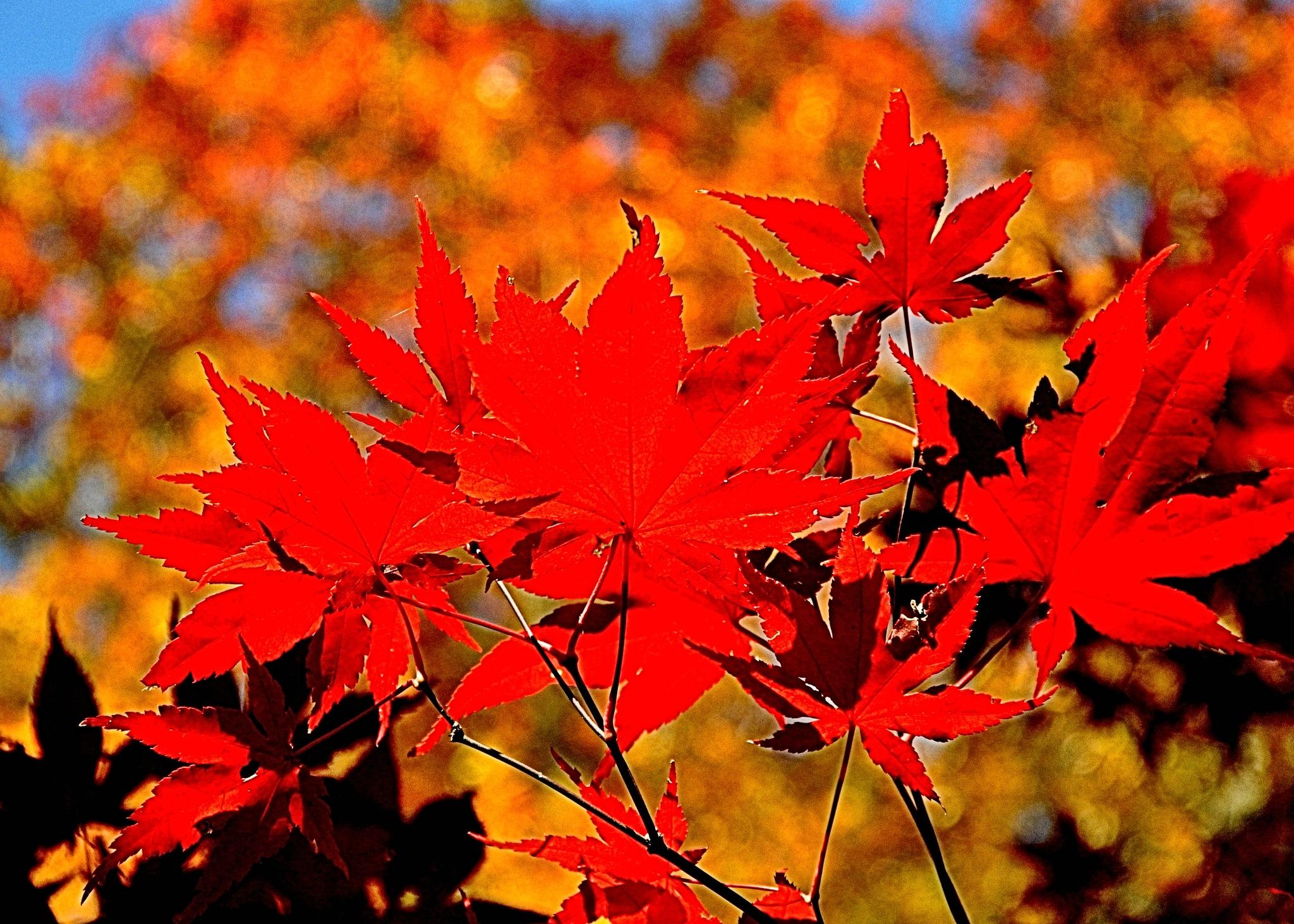 November Red -1 by Joeski