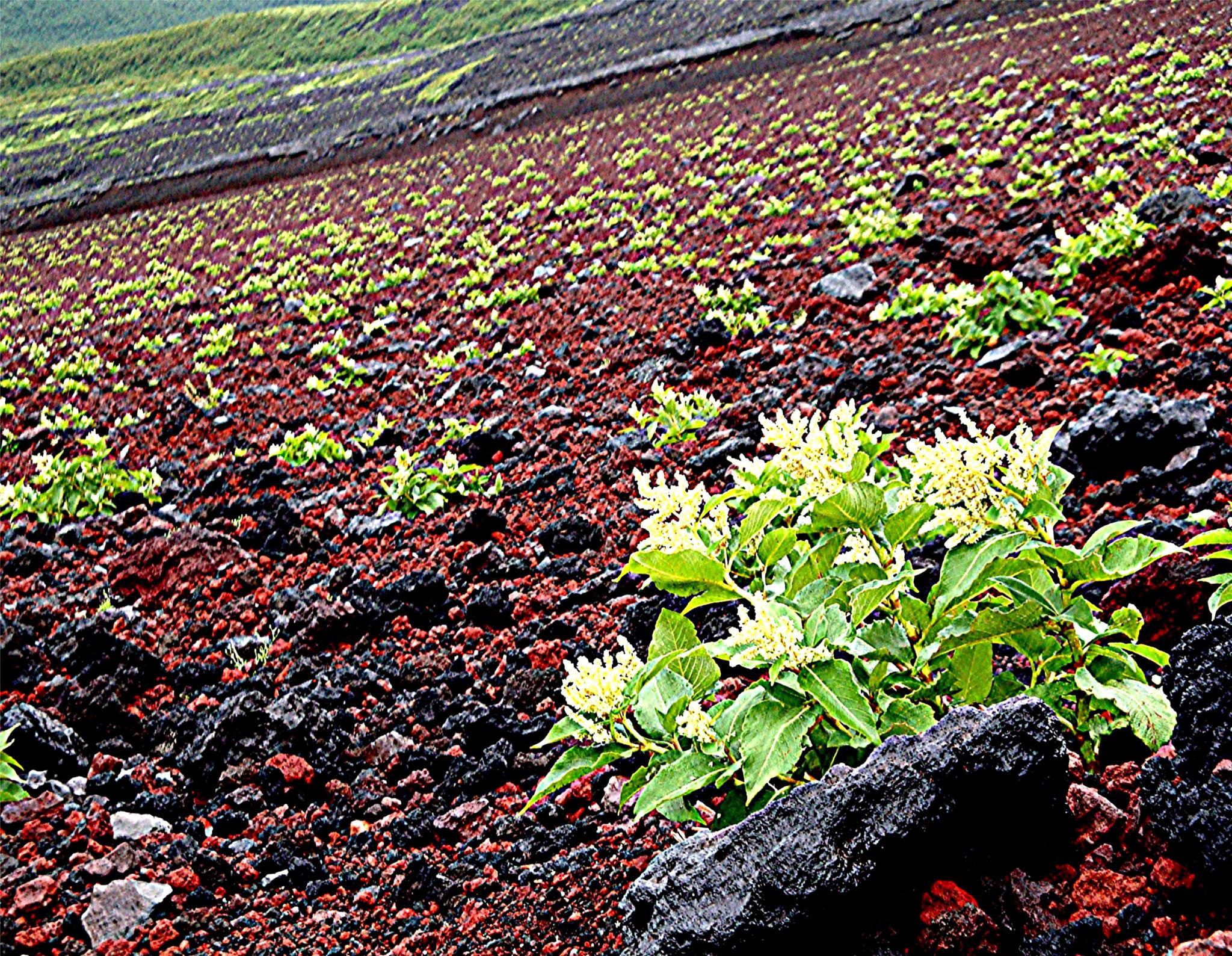 Flowery Slopes- Mt. Fuji by Joeski