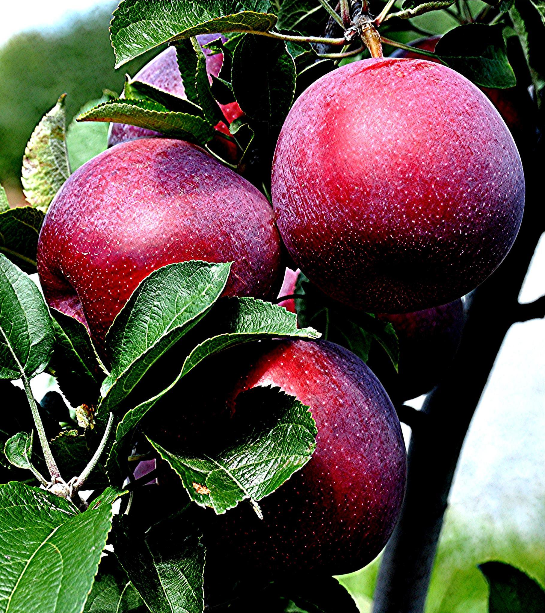 Orchard Beauties by Joeski