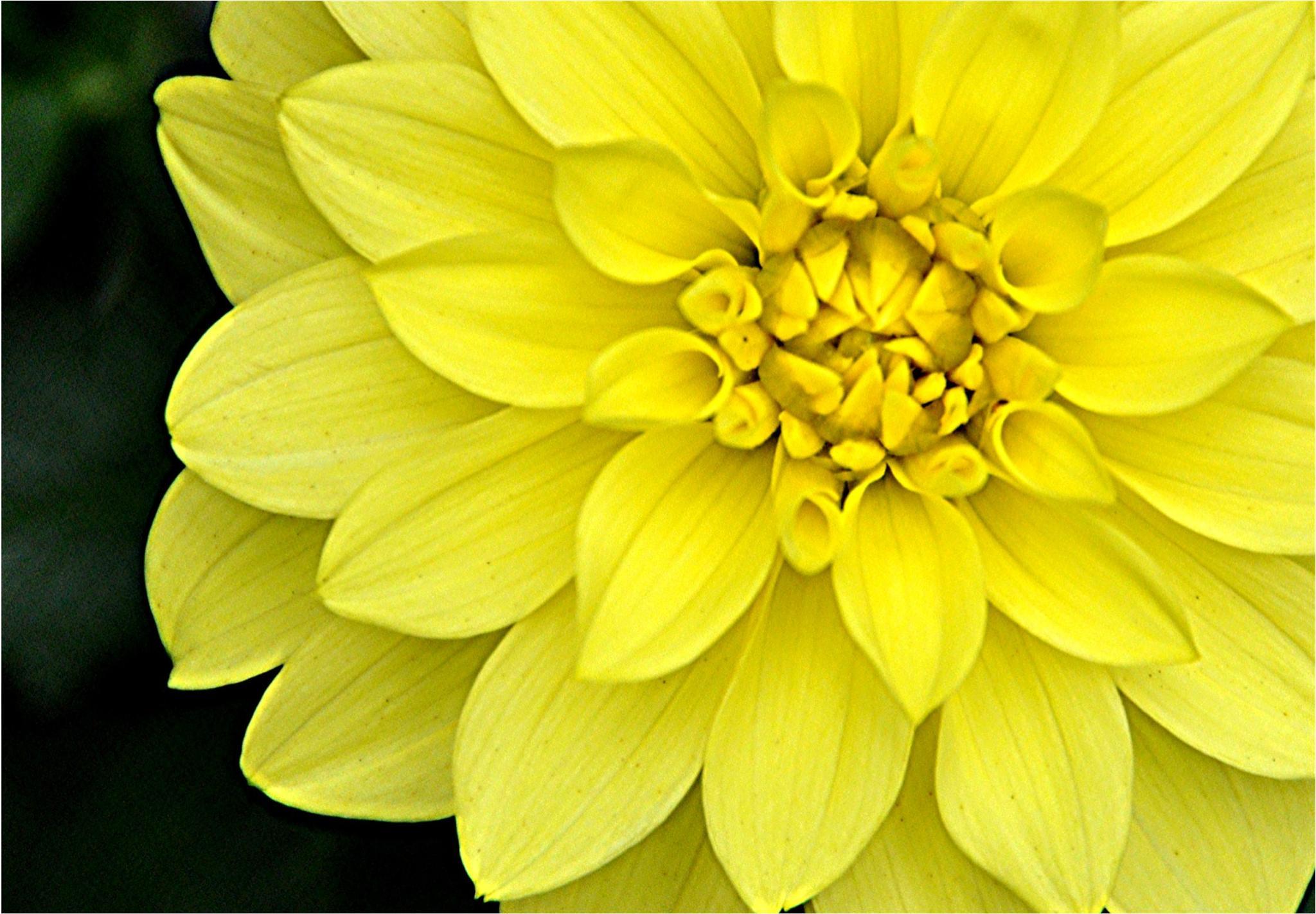 Yellow Beauty by Joeski
