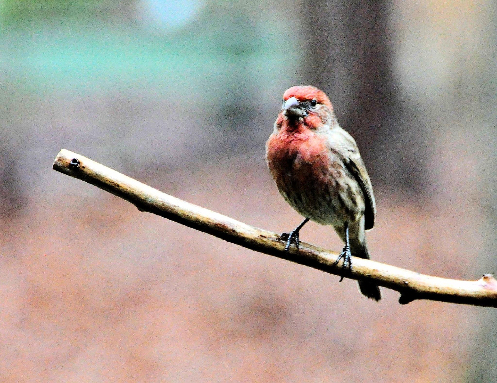 Little Finch by Joeski