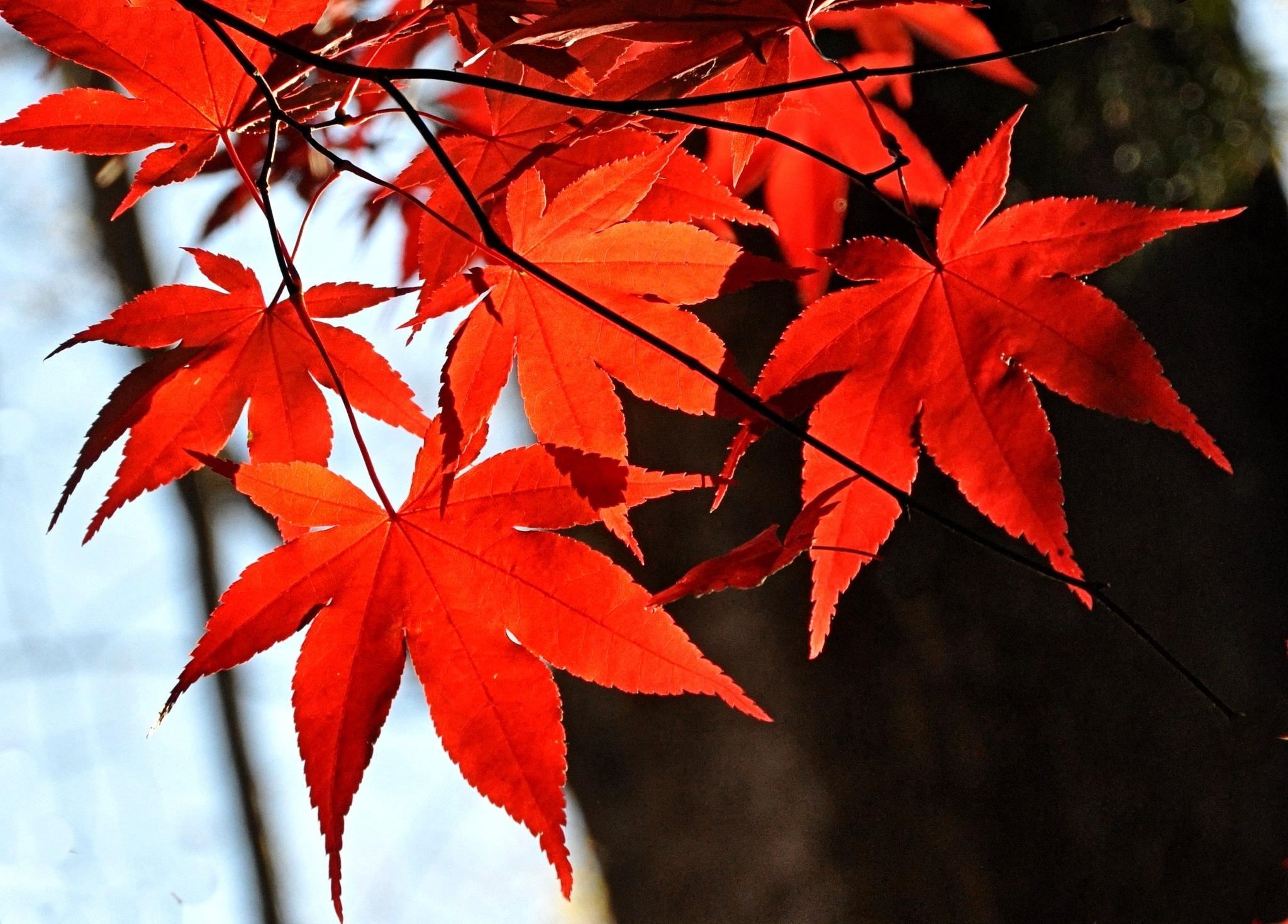November Red -2 by Joeski