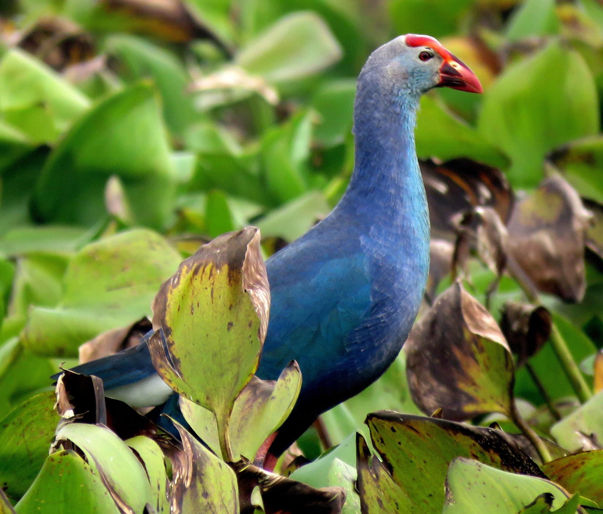 Purple Gallinule by Mainak Adak
