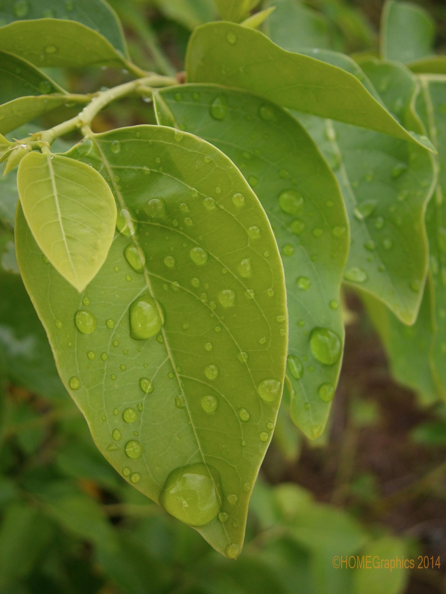 Natural Green Leaf | Tisi Gizo by johnw.houma