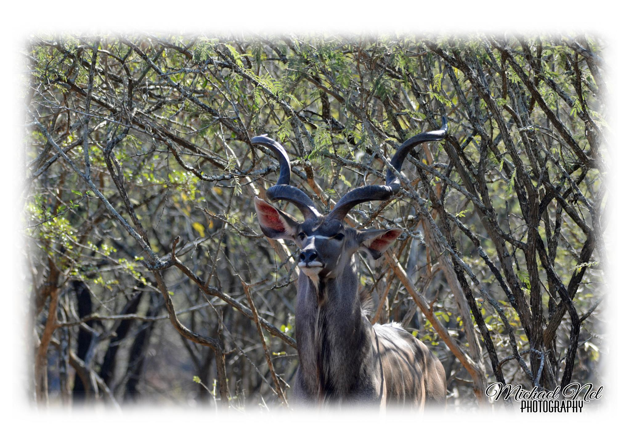 Marloth Park (16/06/2015) - Kudu Bull by michael.nel.526