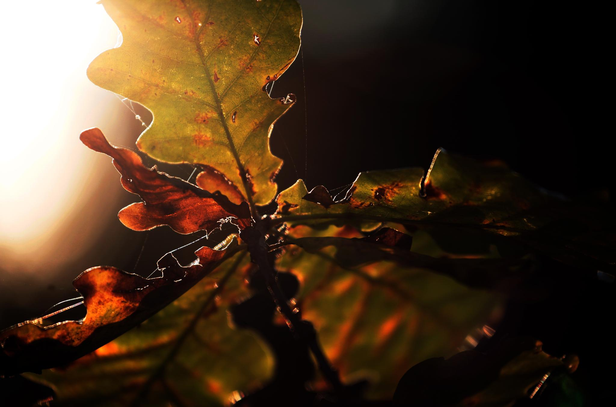Leafs in sunset by thomas.artang