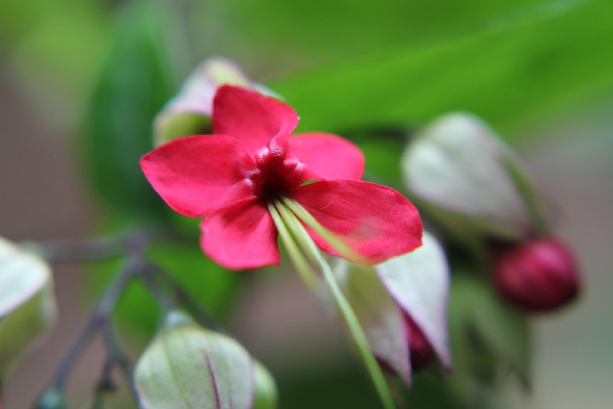 Red Flower by Jayesh Shinde