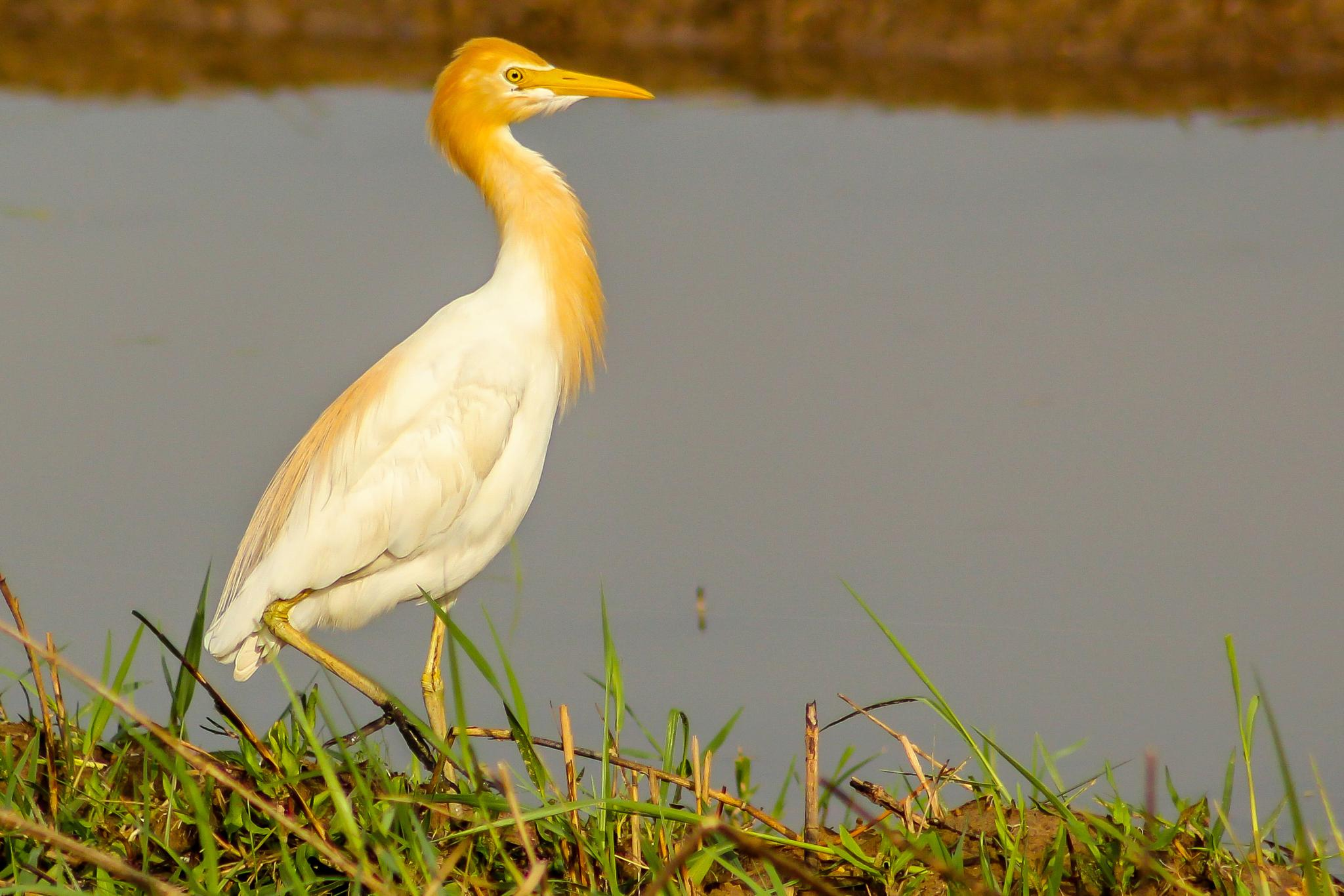 Cattle Egret by Jayesh Shinde