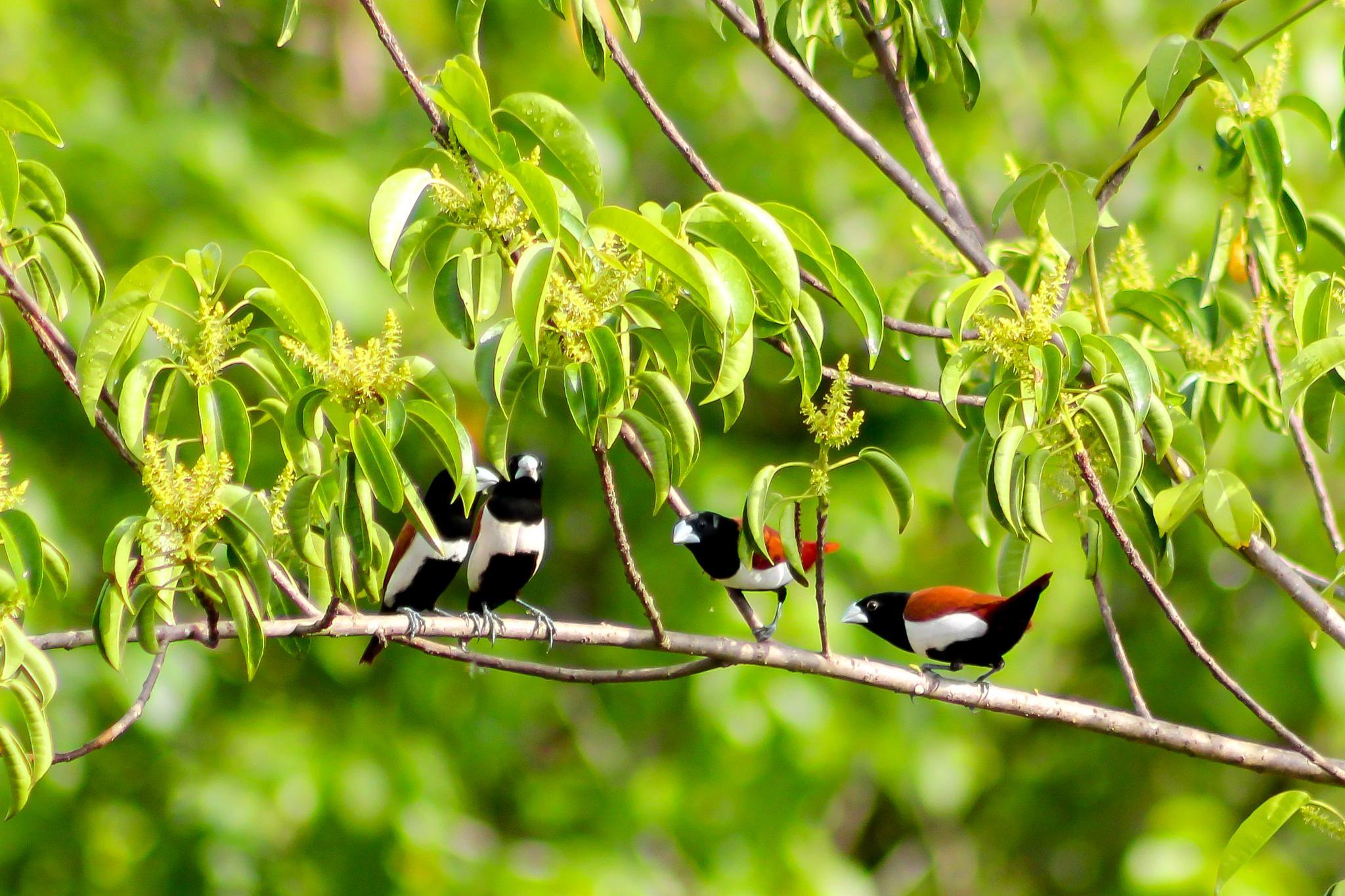 Photo in Animal #tri-coloured munia #munia #bird #birds #birdlife #wildlife #birding #birder #birdwatching #birdspotting #nature #colours #green #colourful #beautiful #tri-coloured #wildlife photography #photography #bird photography #wild #island #vanxim #divar #goa #india #village #birdspotter #spotting