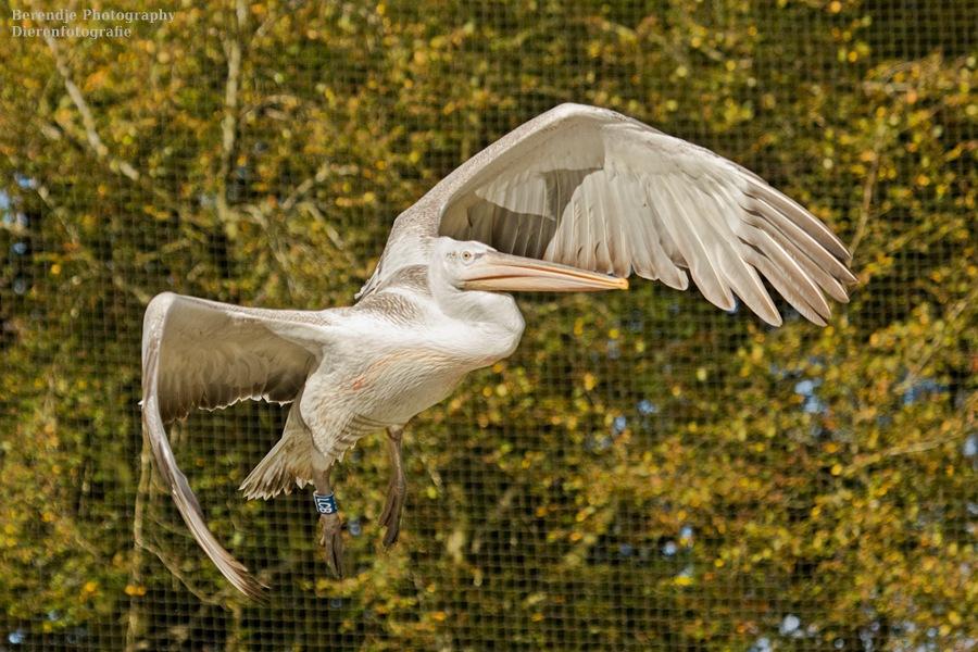 Pelican by Brenda Passchier