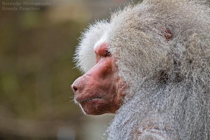 Baboon by Brenda Passchier
