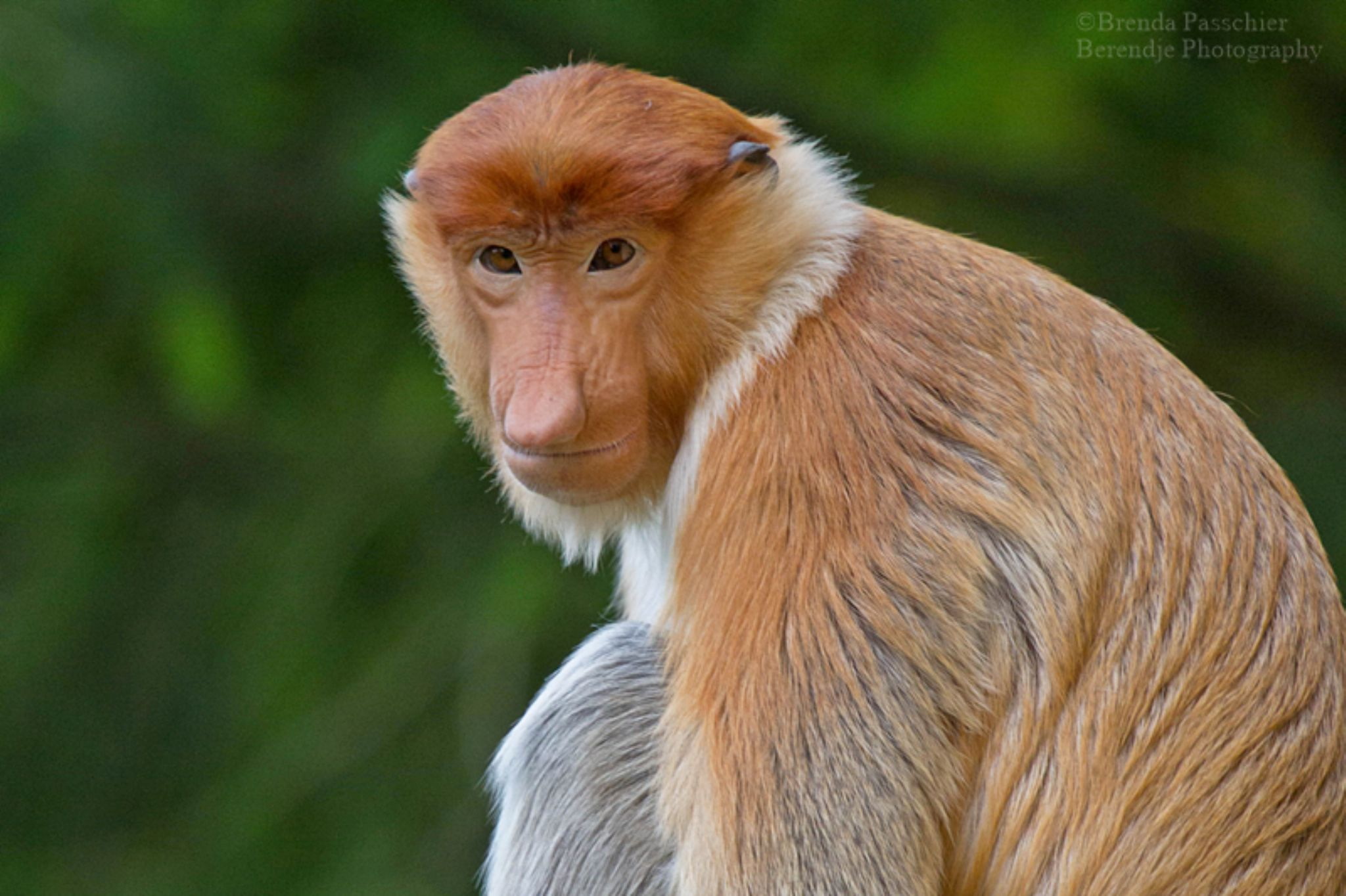Proboscis monkey. Young male.  by Brenda Passchier