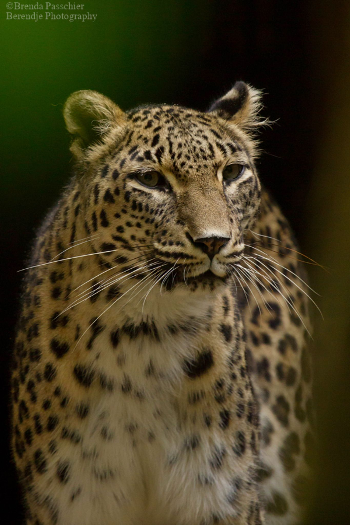 Persian leopard by Brenda Passchier