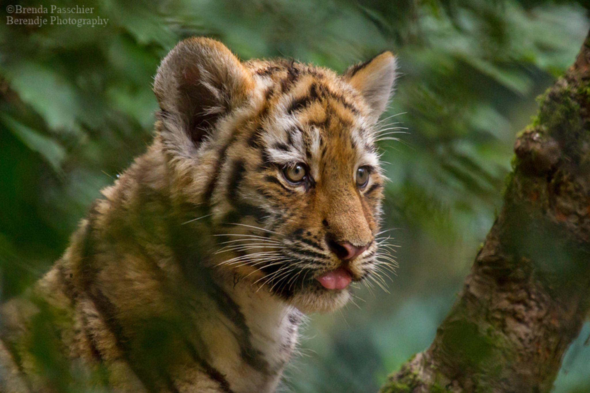 Little Tiger by Brenda Passchier