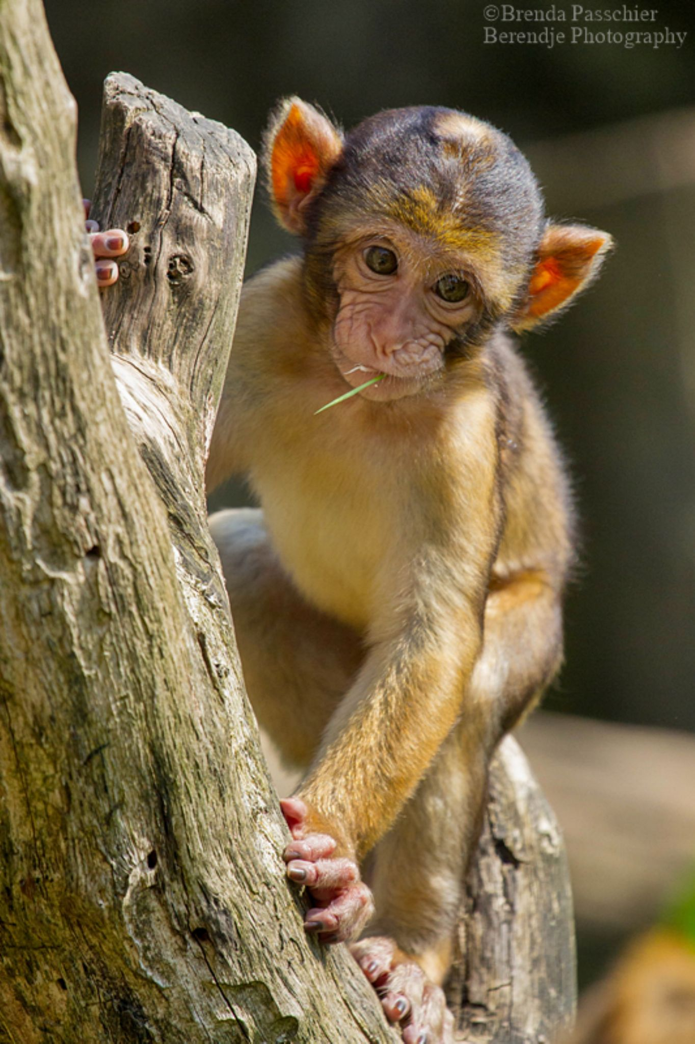 Barbary macaque by Brenda Passchier