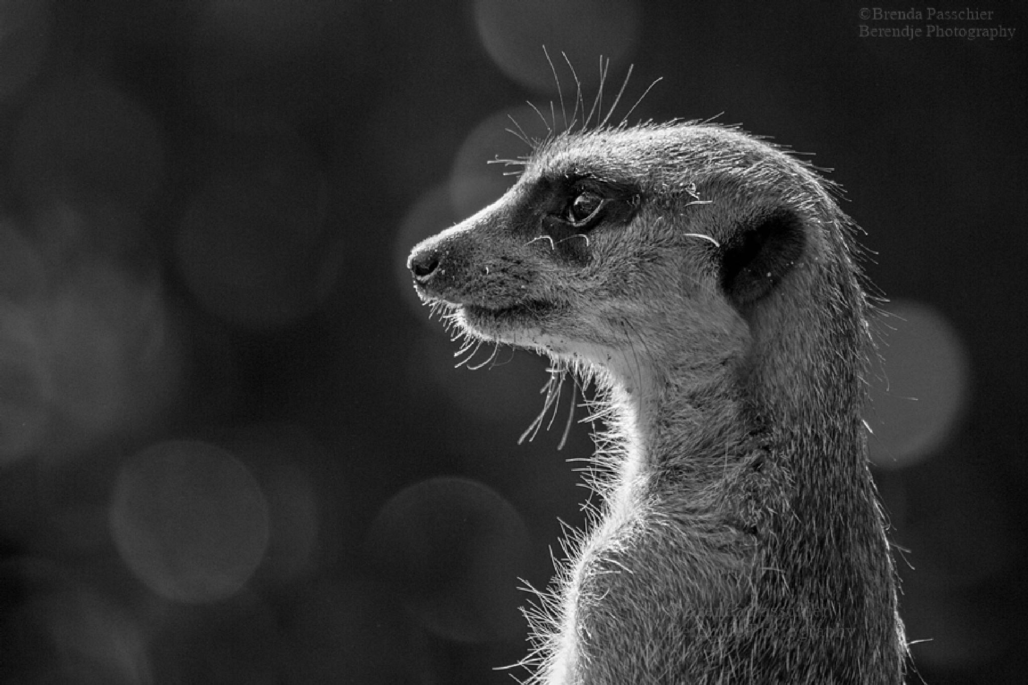 Meerkat by Brenda Passchier