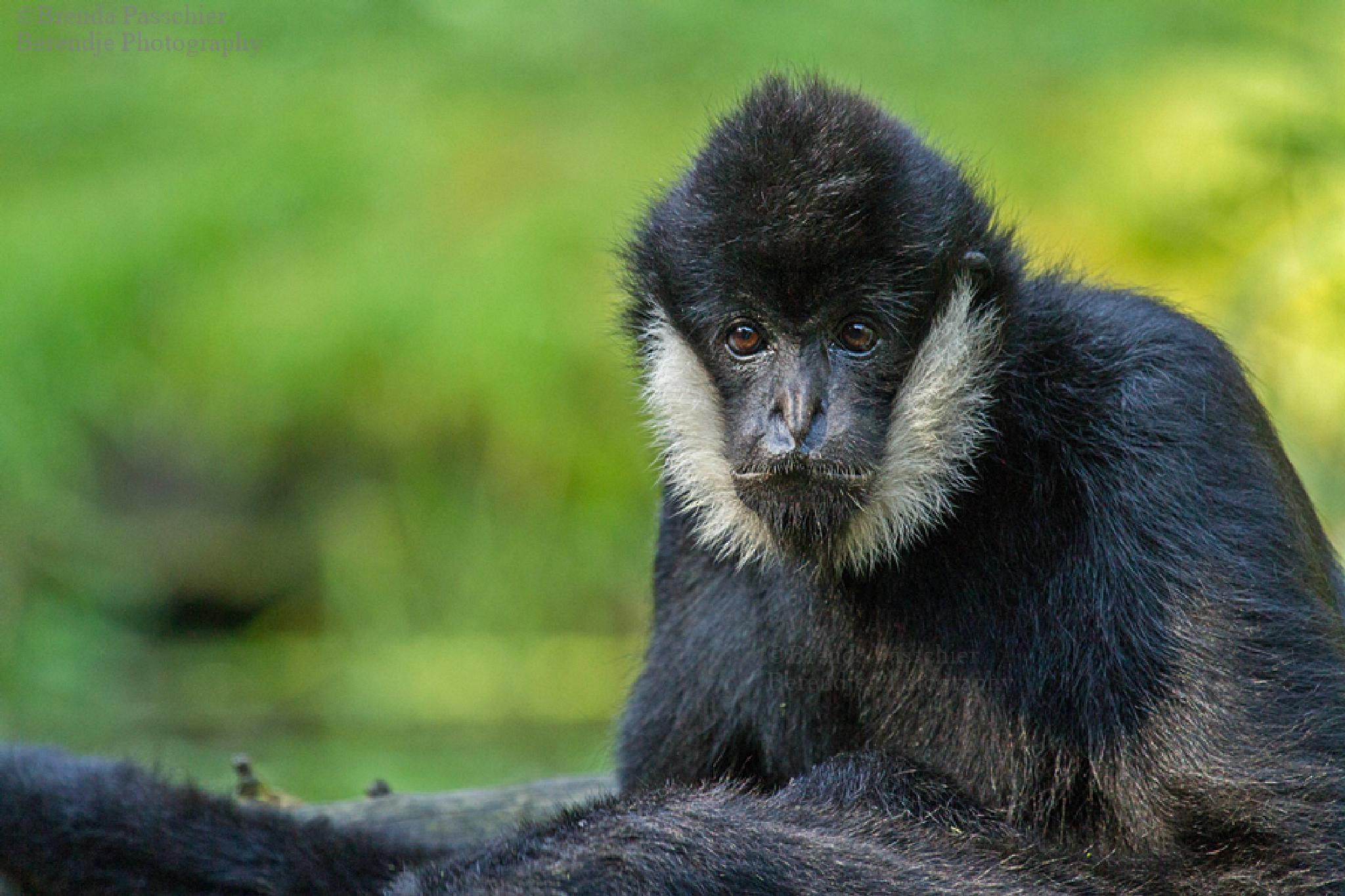 White cheeked gibbon. by Brenda Passchier