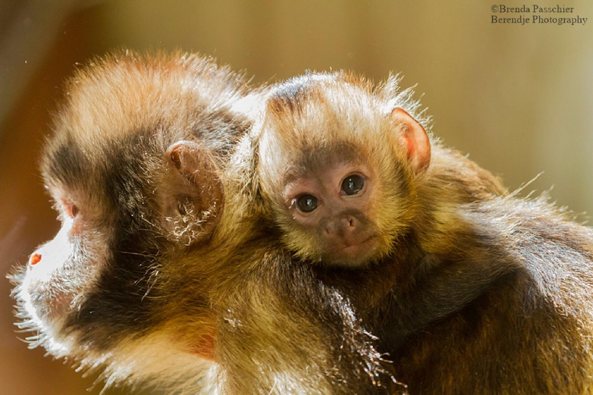 Yellow breasted capuchin by Brenda Passchier