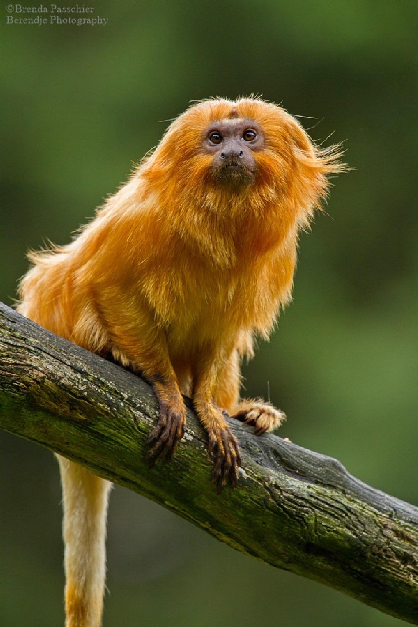 Golden lion tamarin by Brenda Passchier