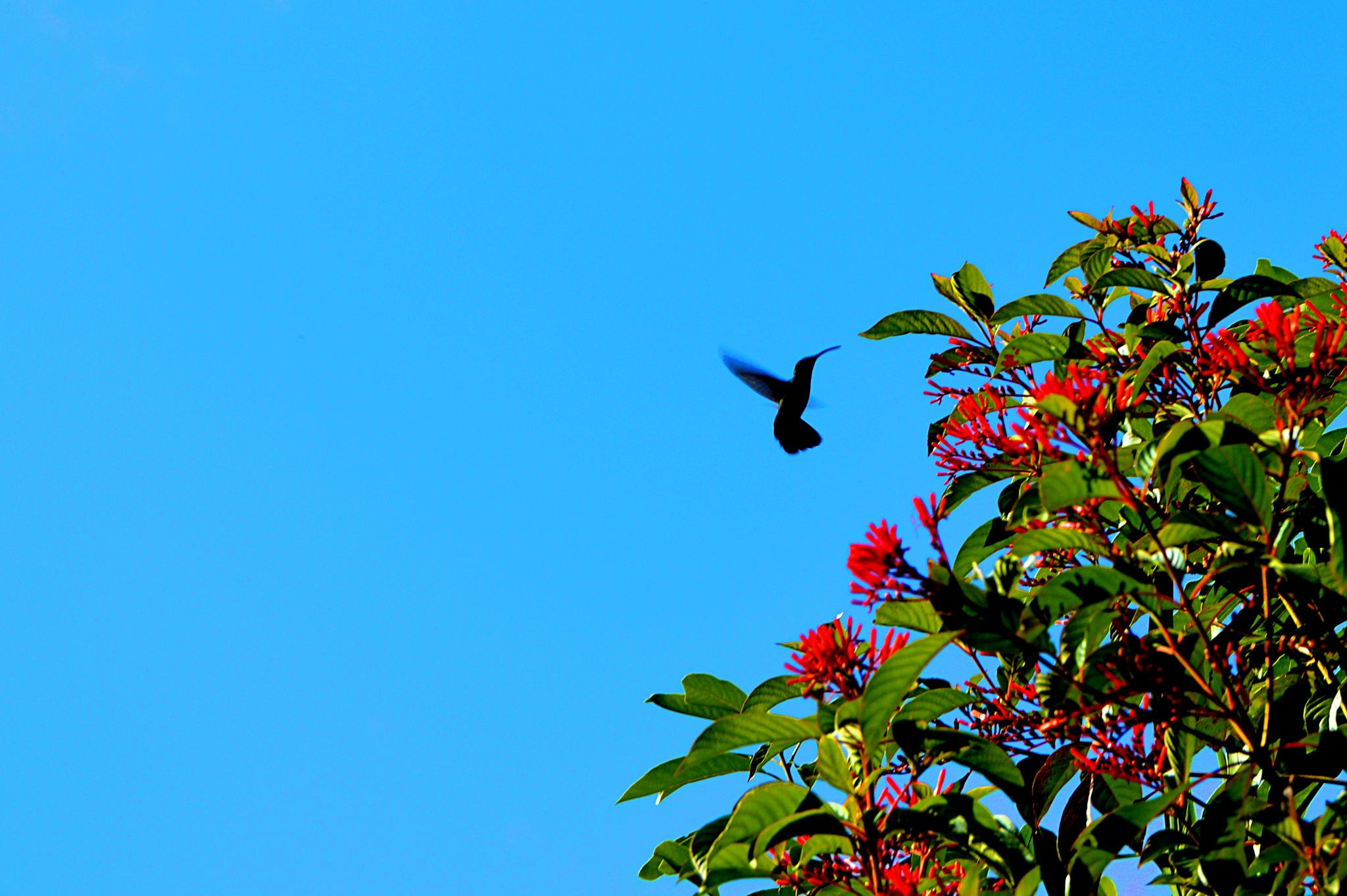 colibri by Ti_Gris_Gris