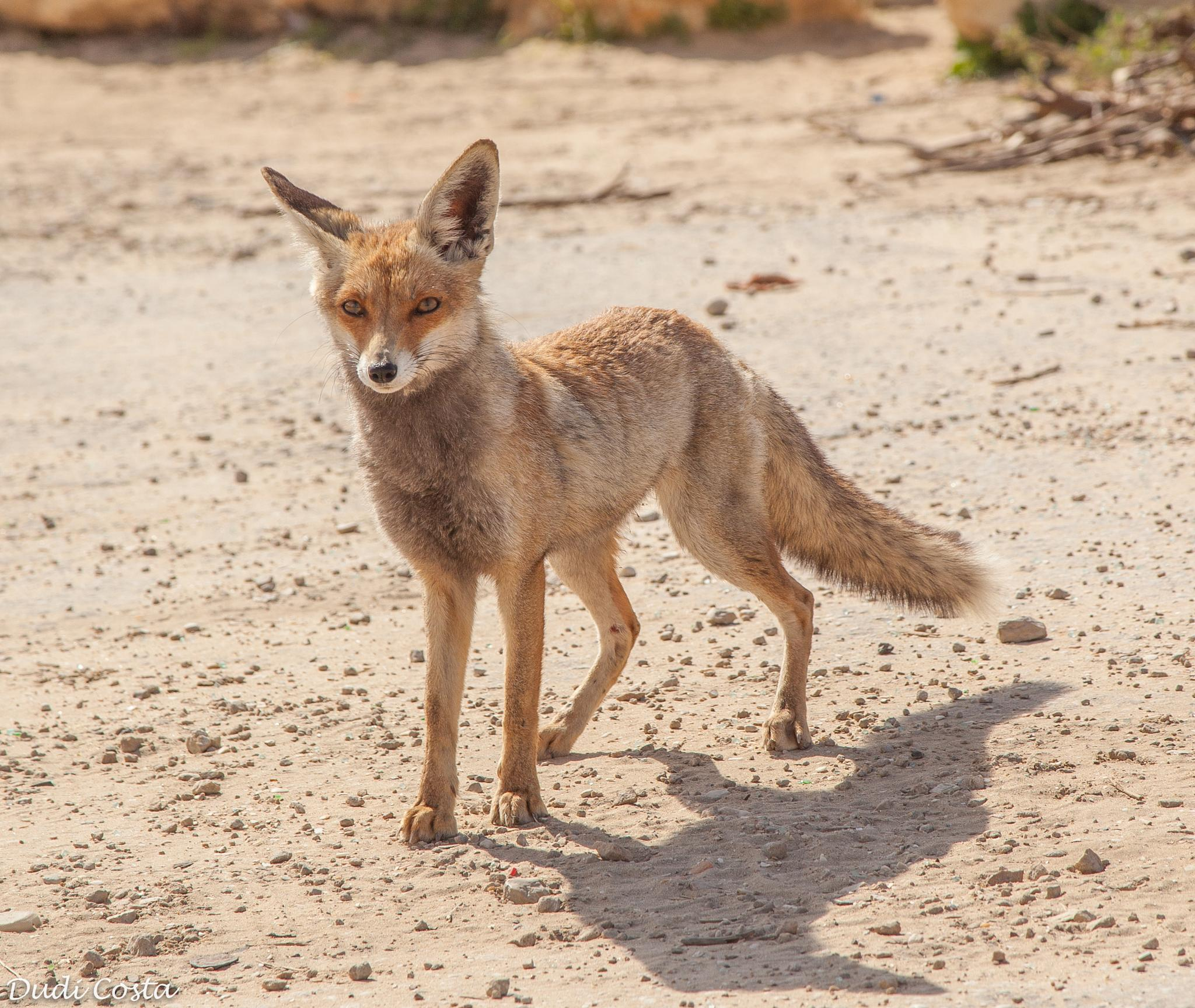 Hi little foxy  by Dudi Costa