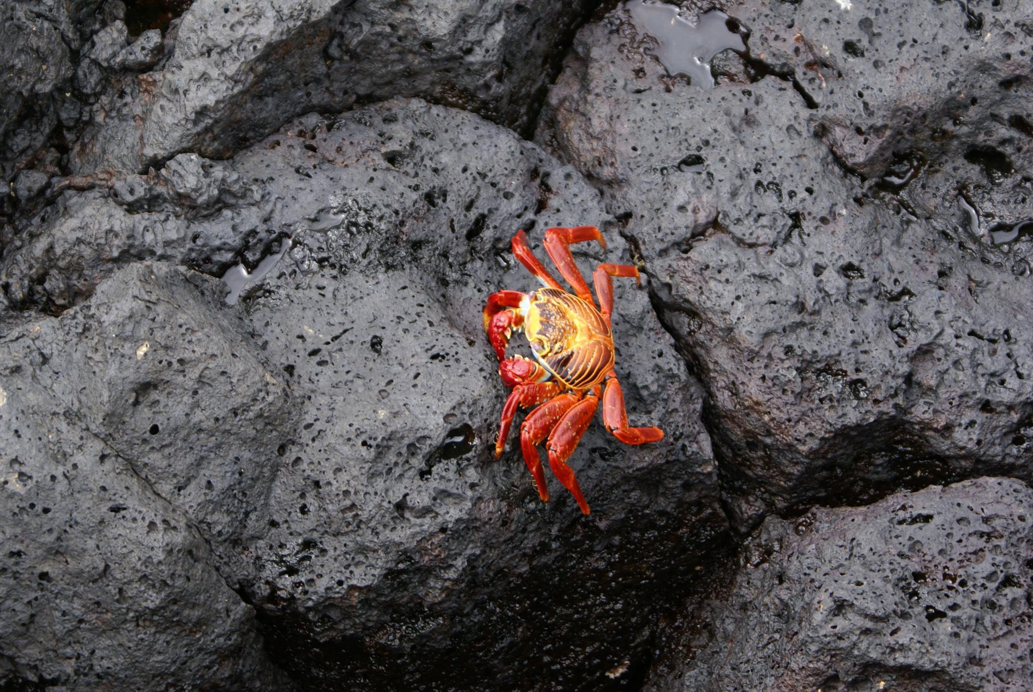 Rock  crab  Galapagos Islands by moti.vagman