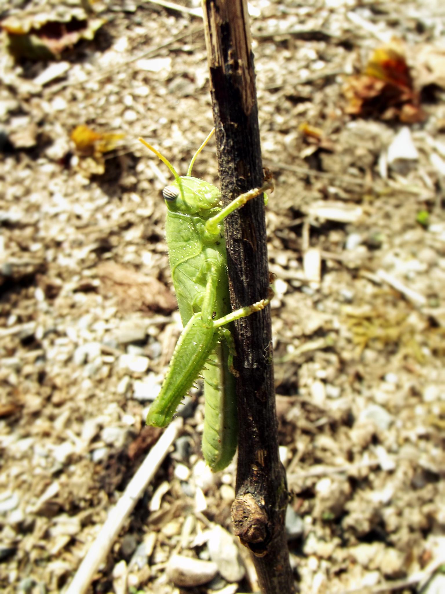 Grasshopper by my17ida