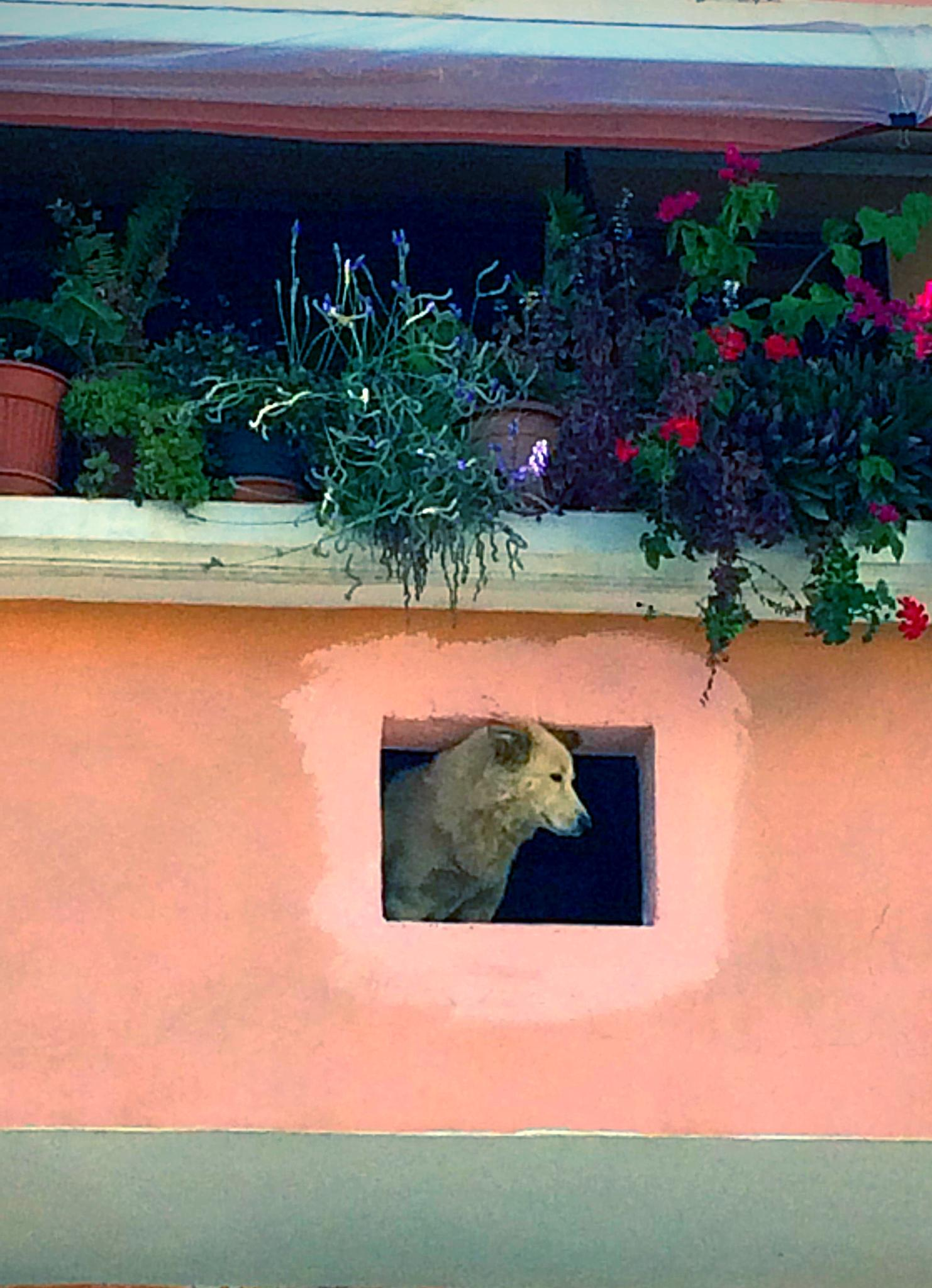 Dog in the window by dany.kahanovitch