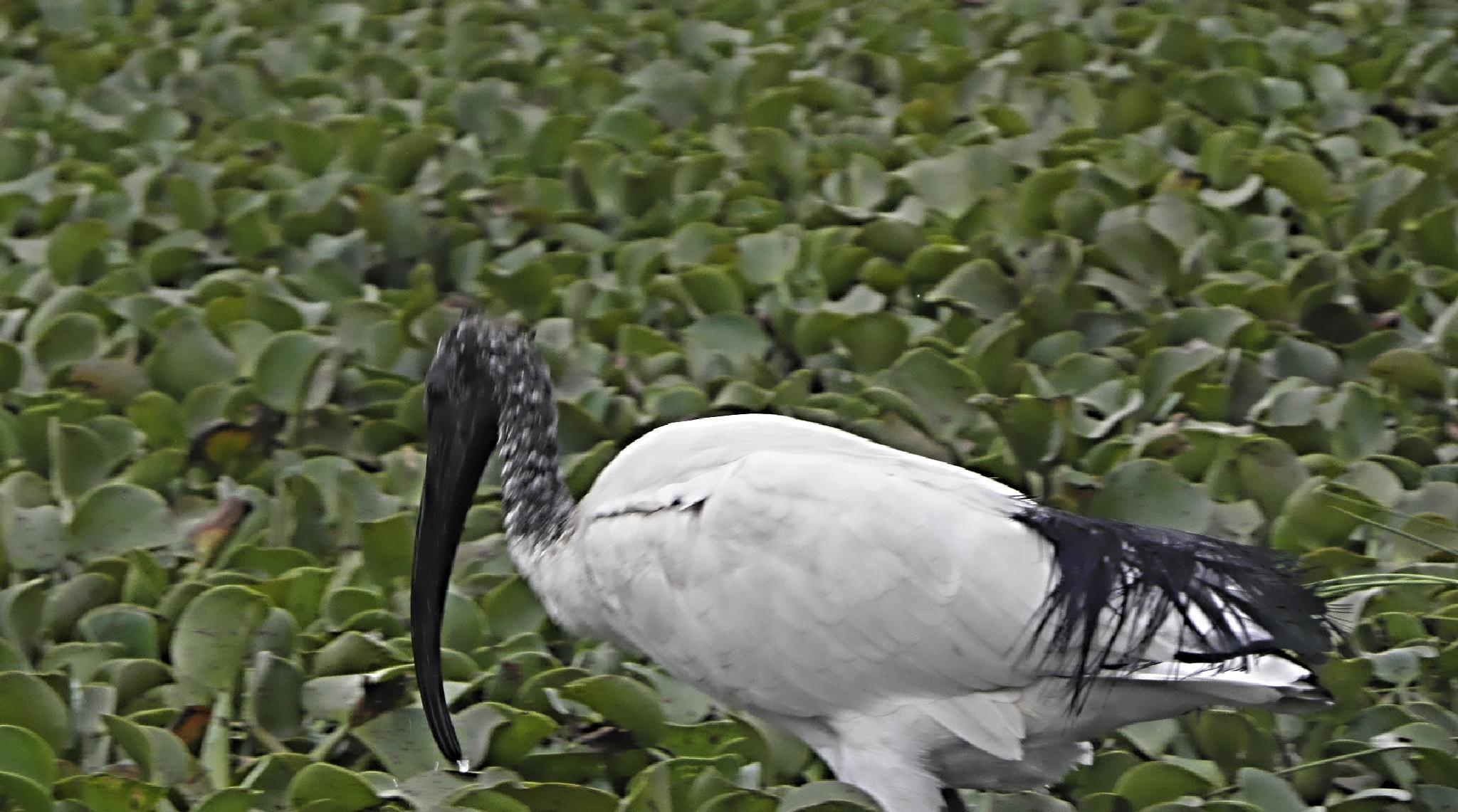 A bird in lake Naivasha, Kenya by dany.kahanovitch
