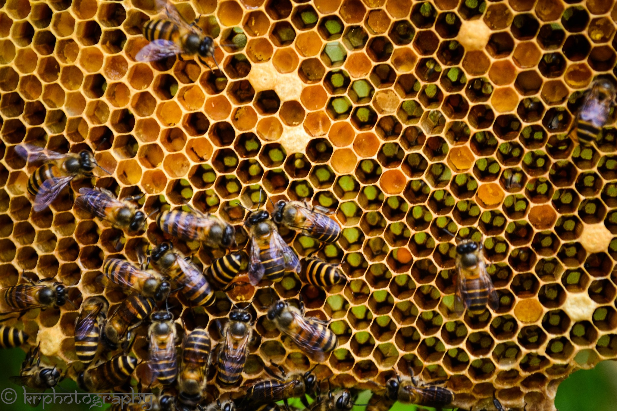 Honey Bee Farm Sabah by KR DeMoN