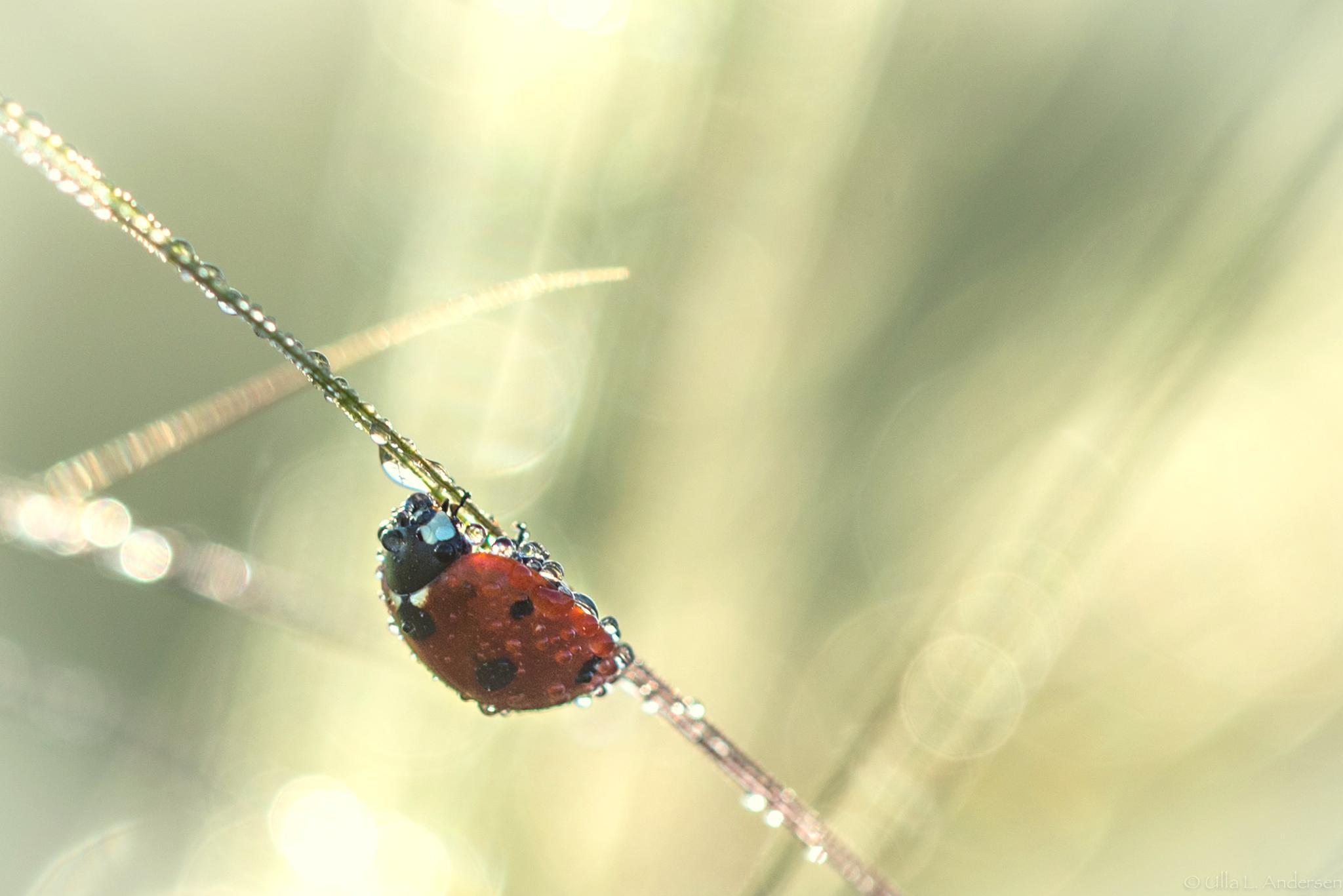 Ladybug after shower by Ulla Lippert Andersen