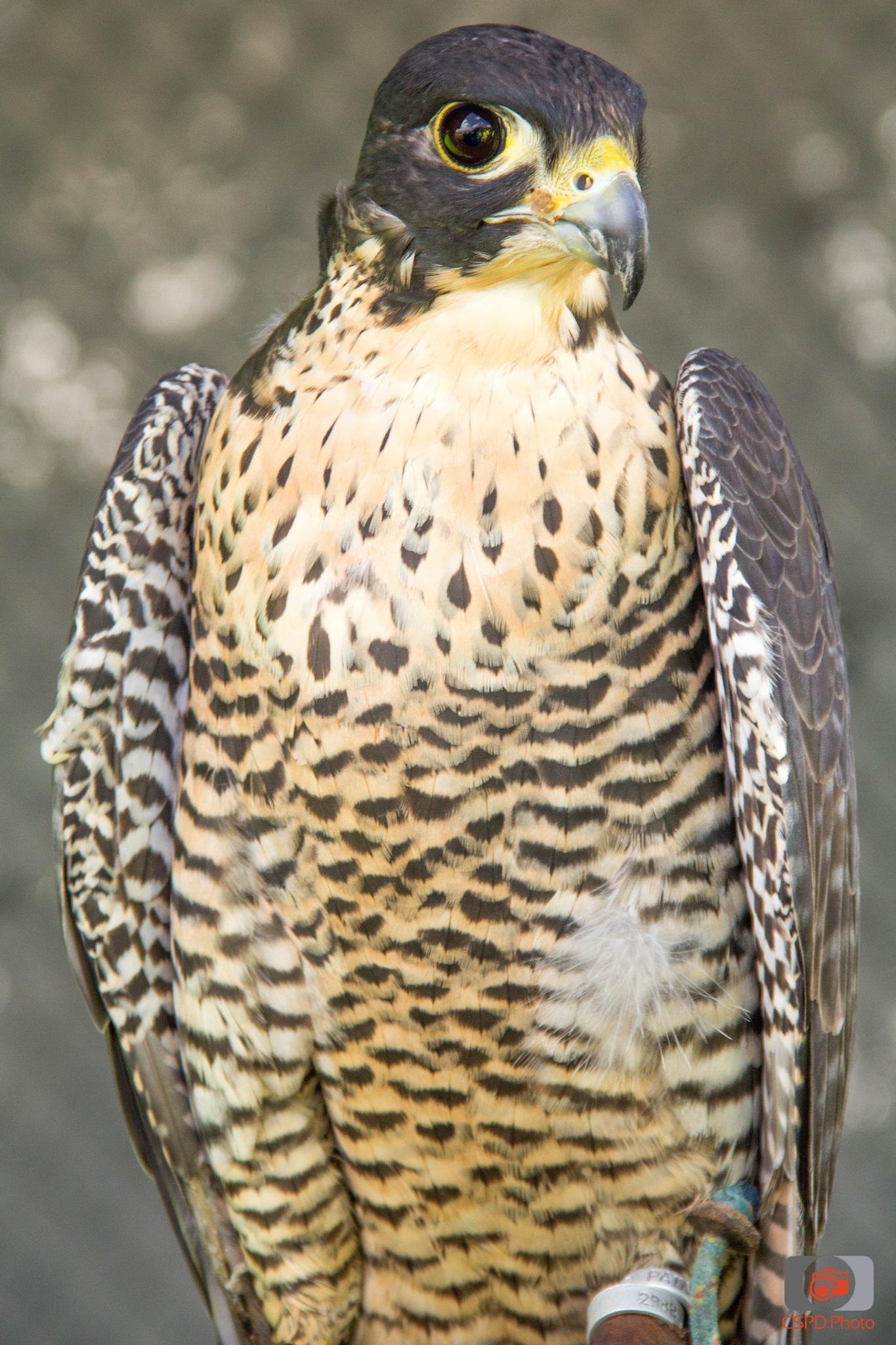 Hawk by Carla Dias
