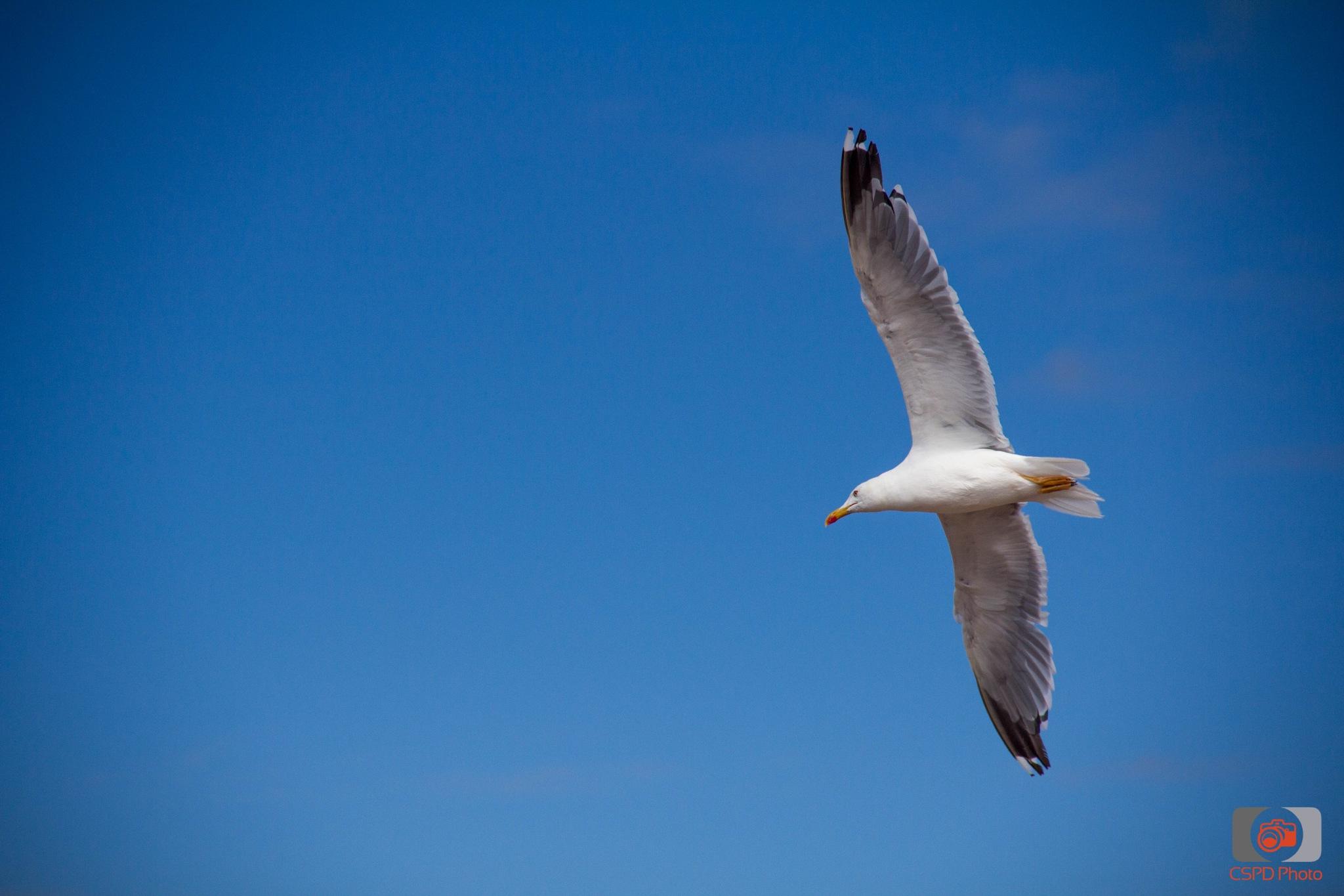 Seagull by Carla Dias