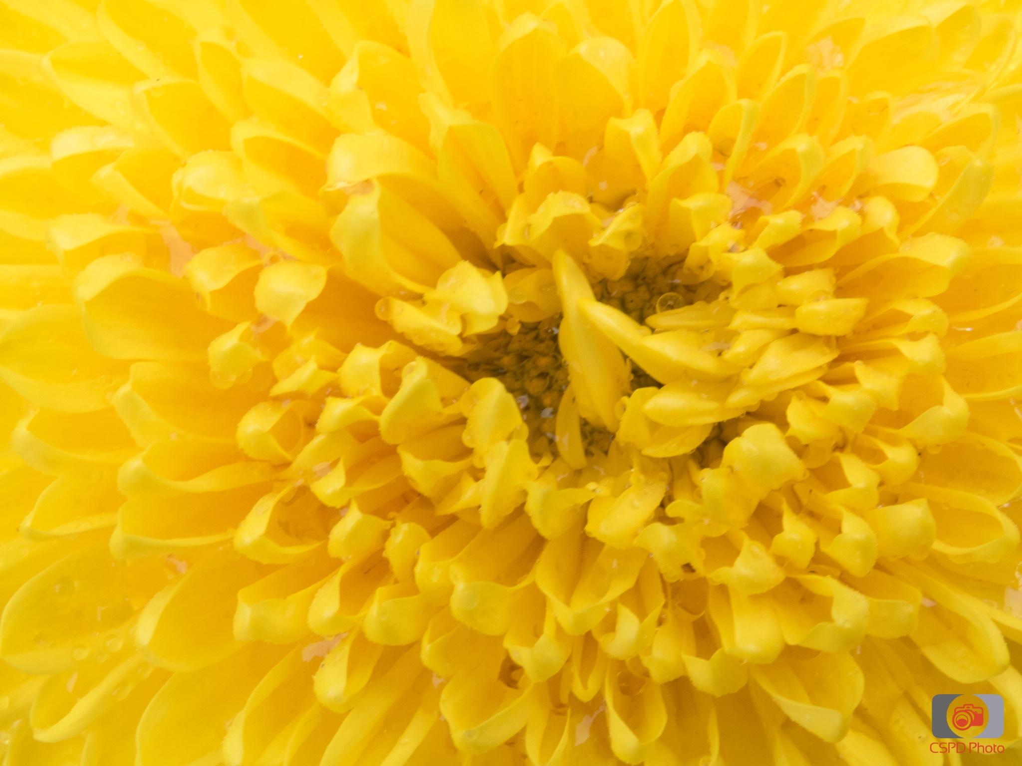 Yellow by Carla Dias