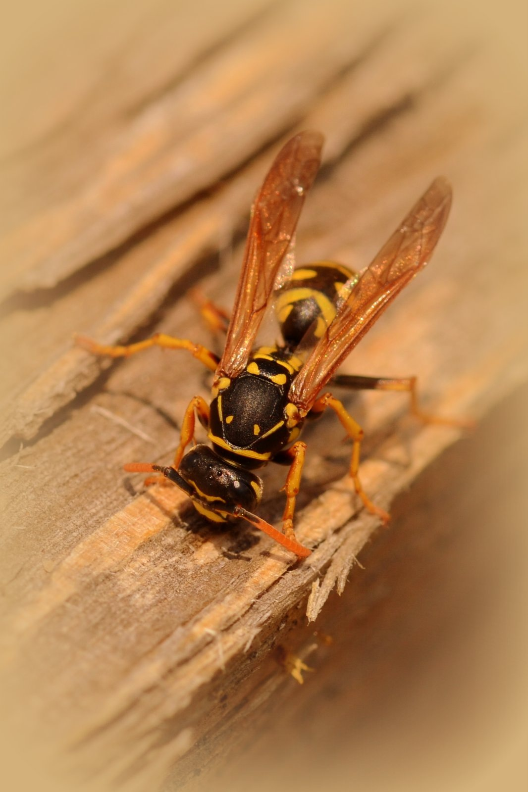 wasp by jeffdixon
