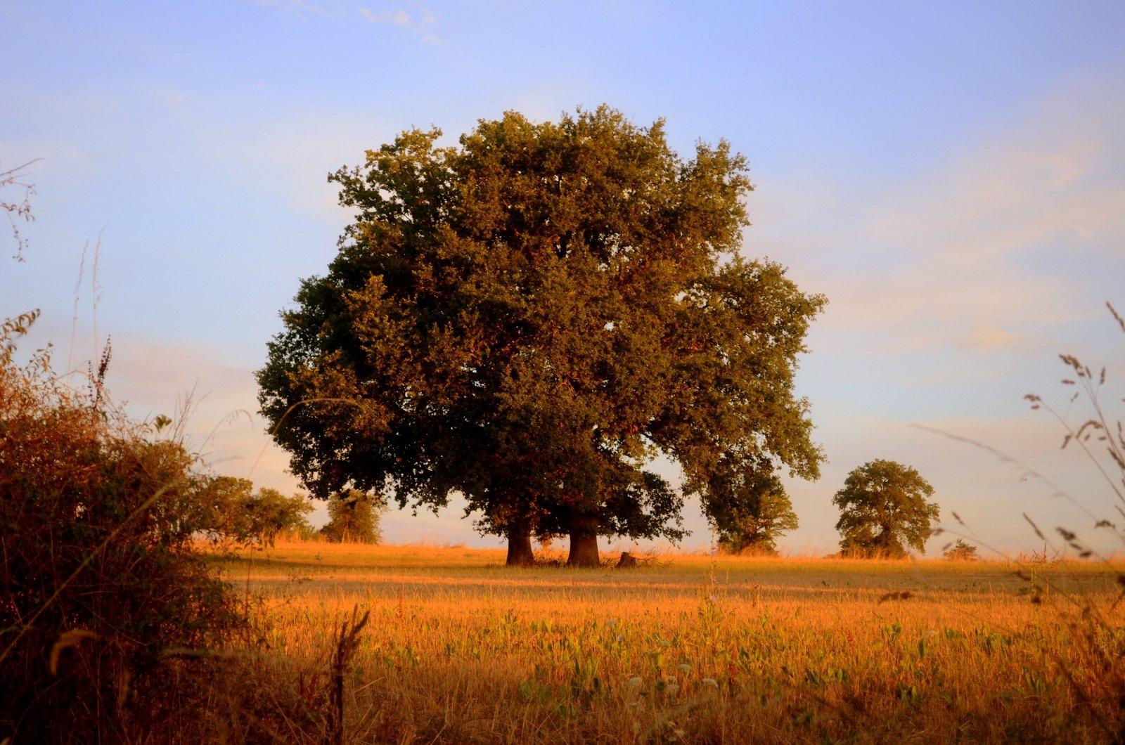 Two Oak Trees by jeffdixon